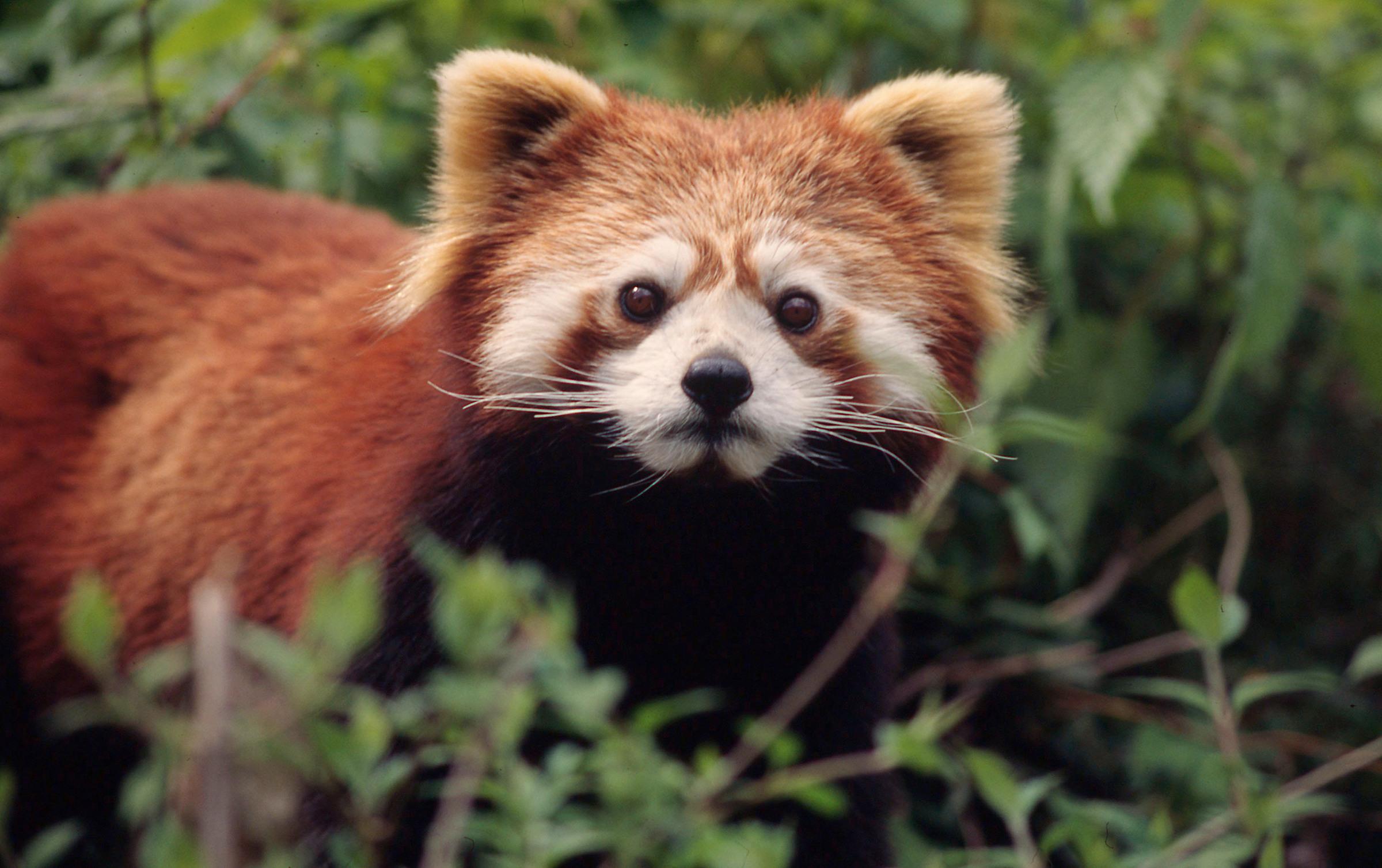 Roter Panda von vorne
