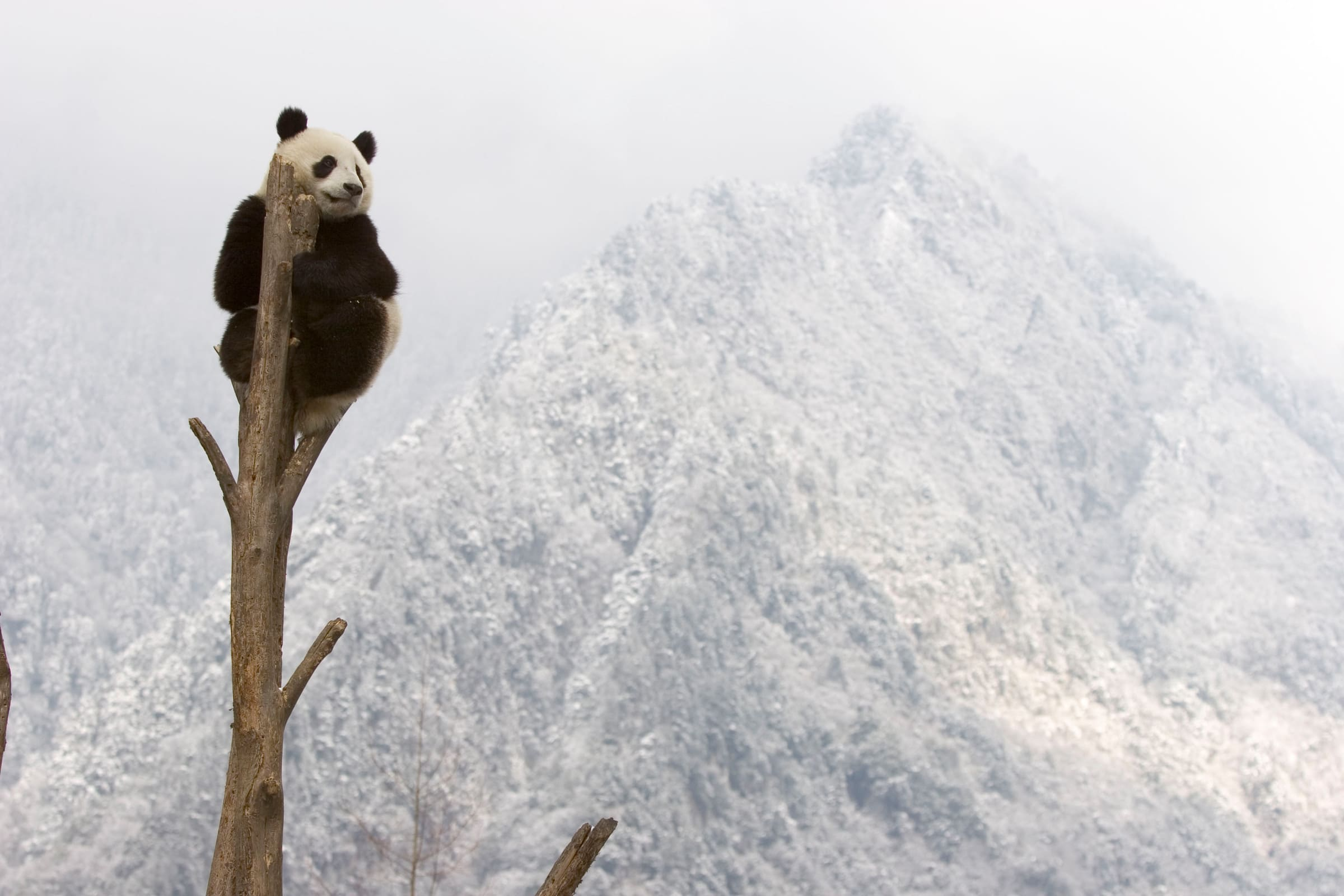 Grosser Panda auf einem Baum
