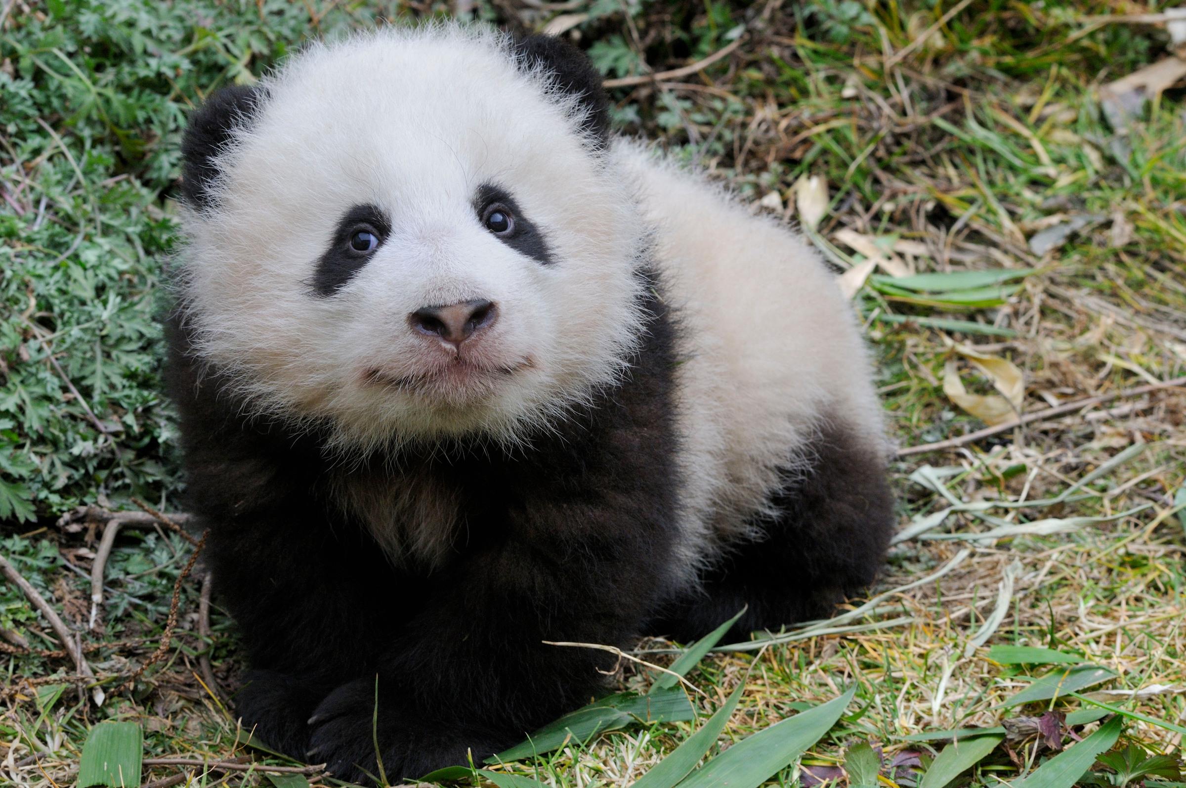 5 Monate alter Grosser Panda, Wolong, China