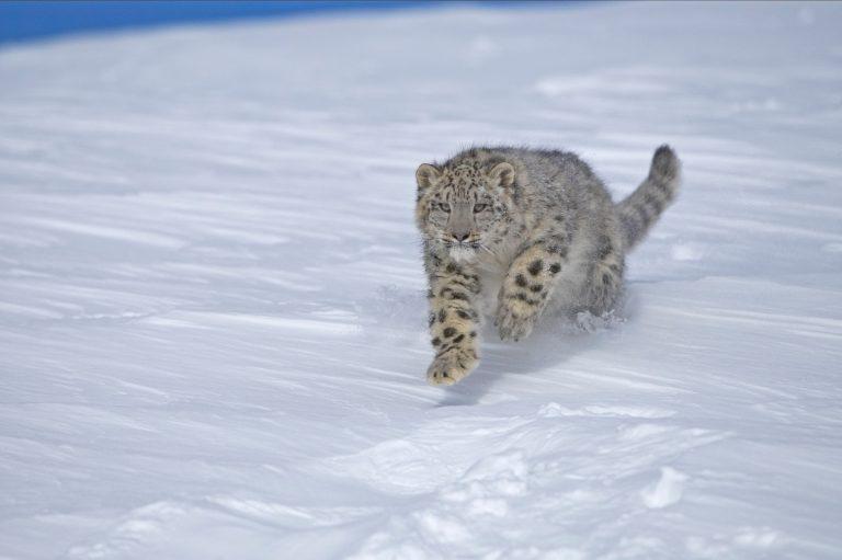 Schneeleopard rennt im Schnee