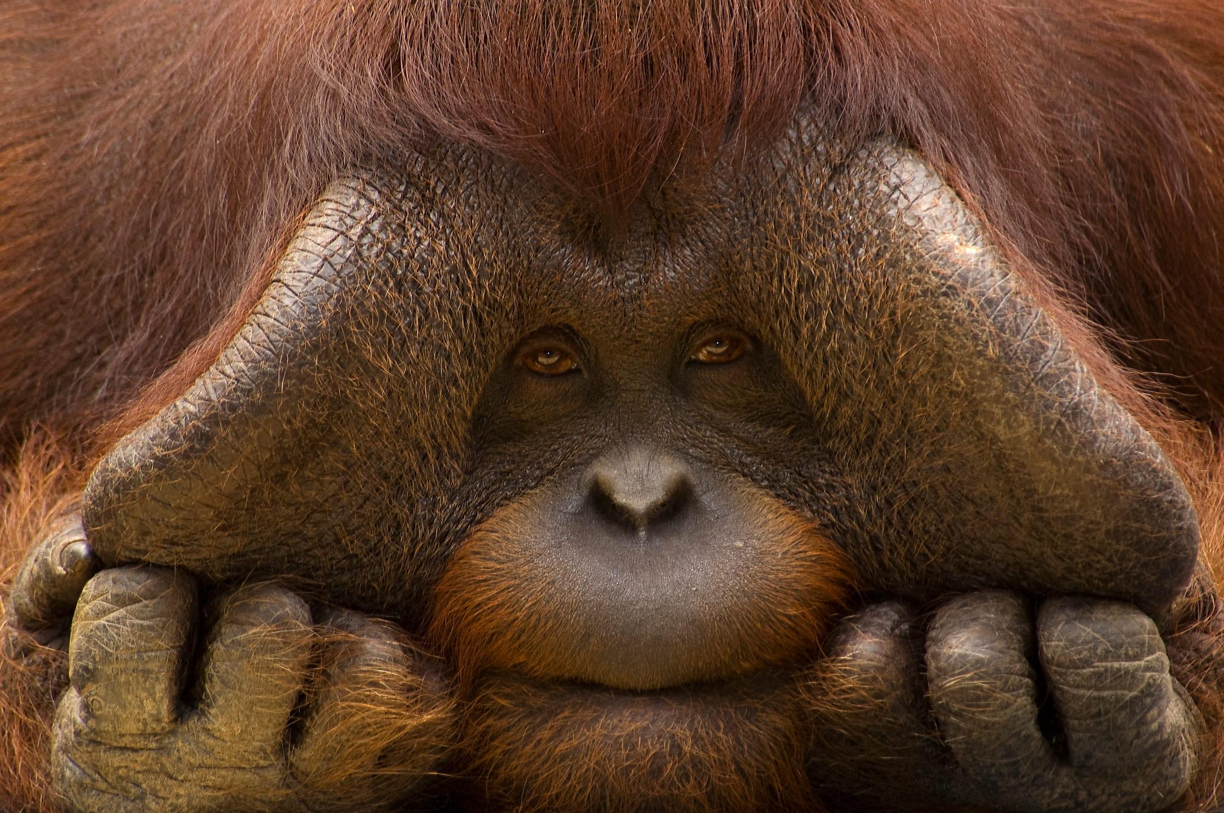 Borneo-Orang-Utan-Männchen