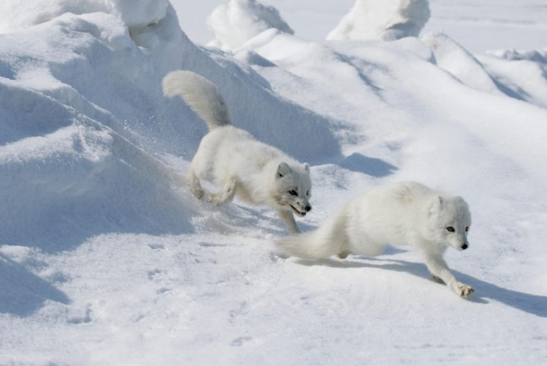 Deux renards polaires courent dans la neige.