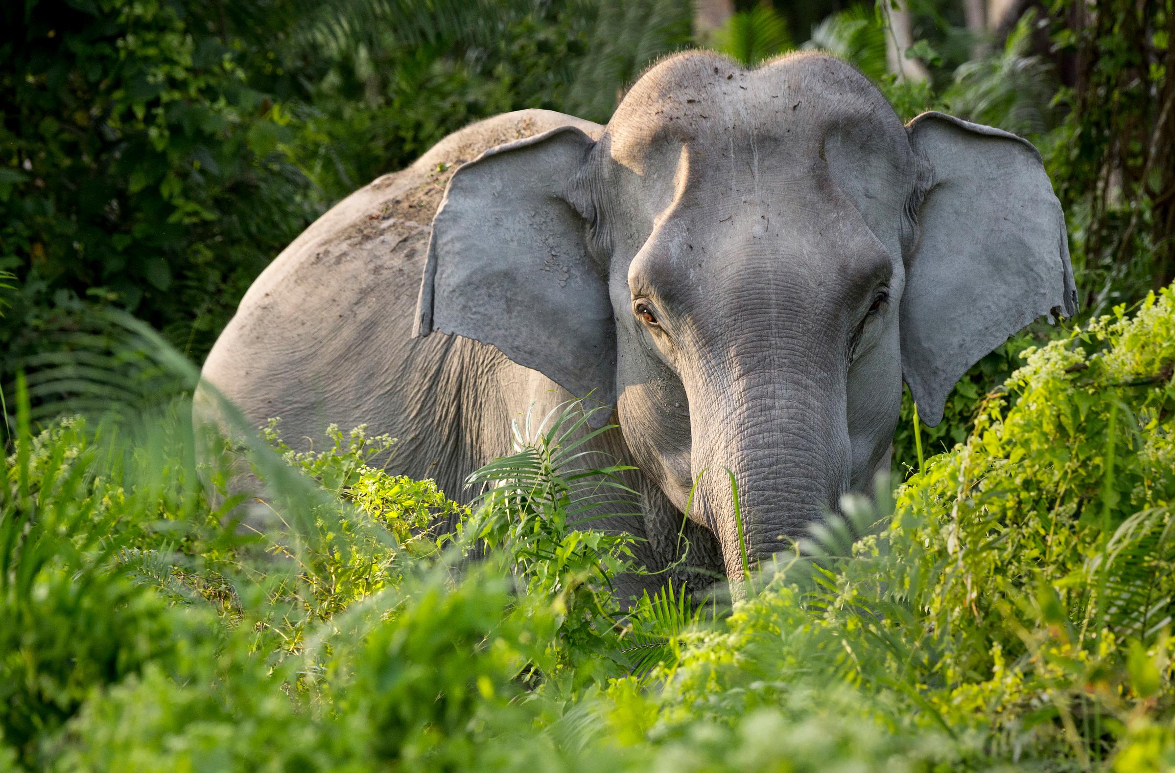 Asiatischer Elefant, Indien