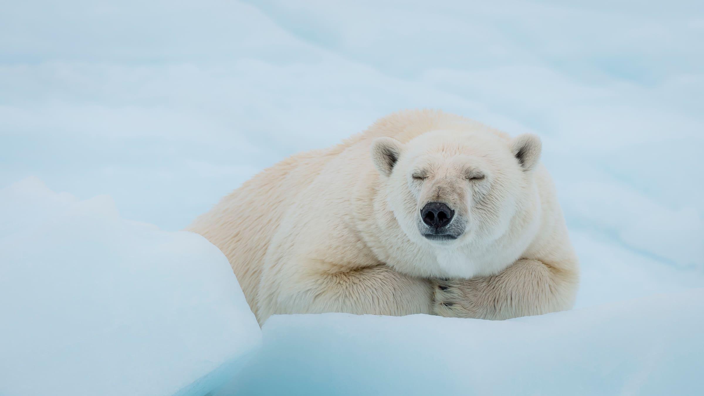 Un ours polaire dormant dans la neige
