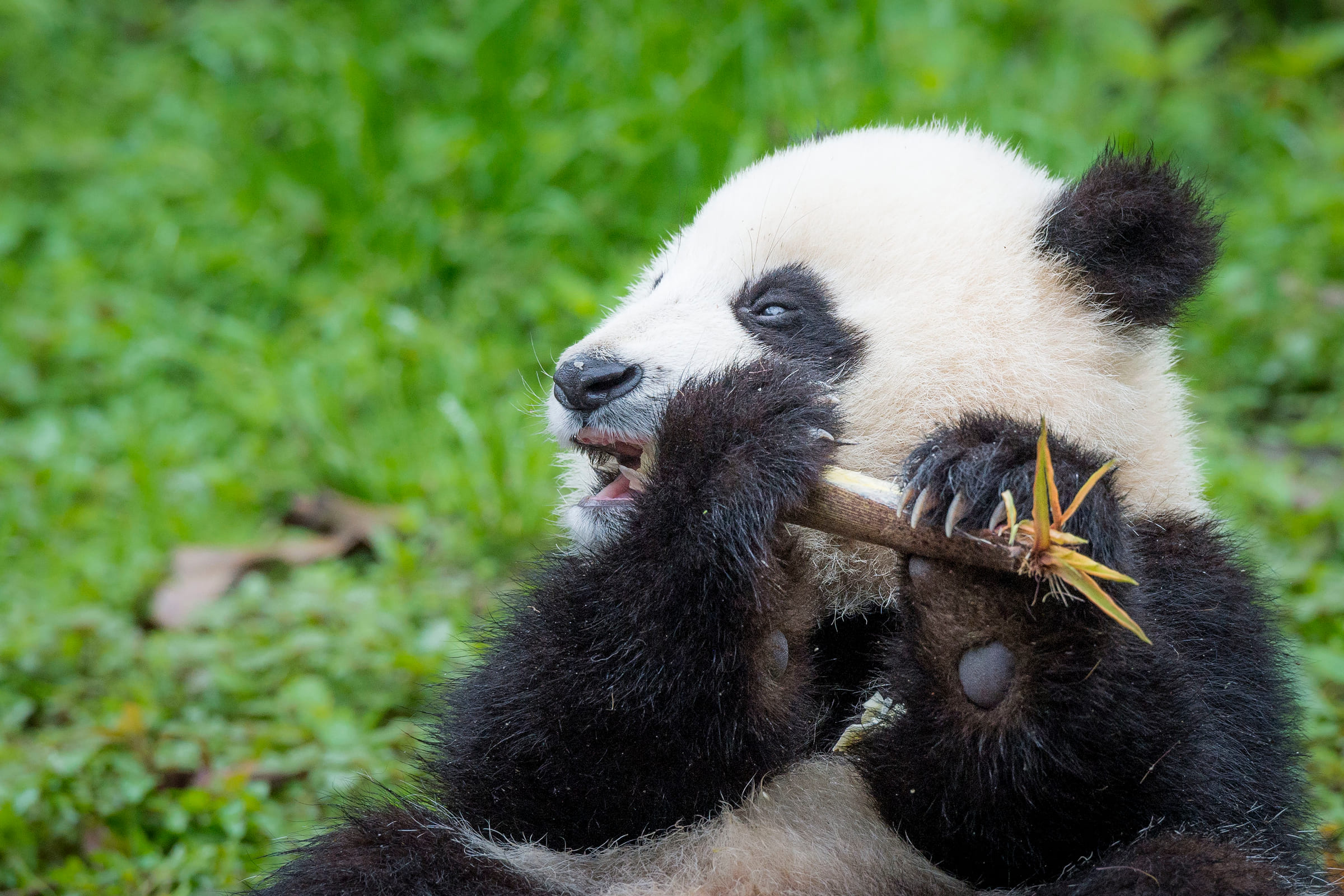 Grosser Panda frisst Bambus.