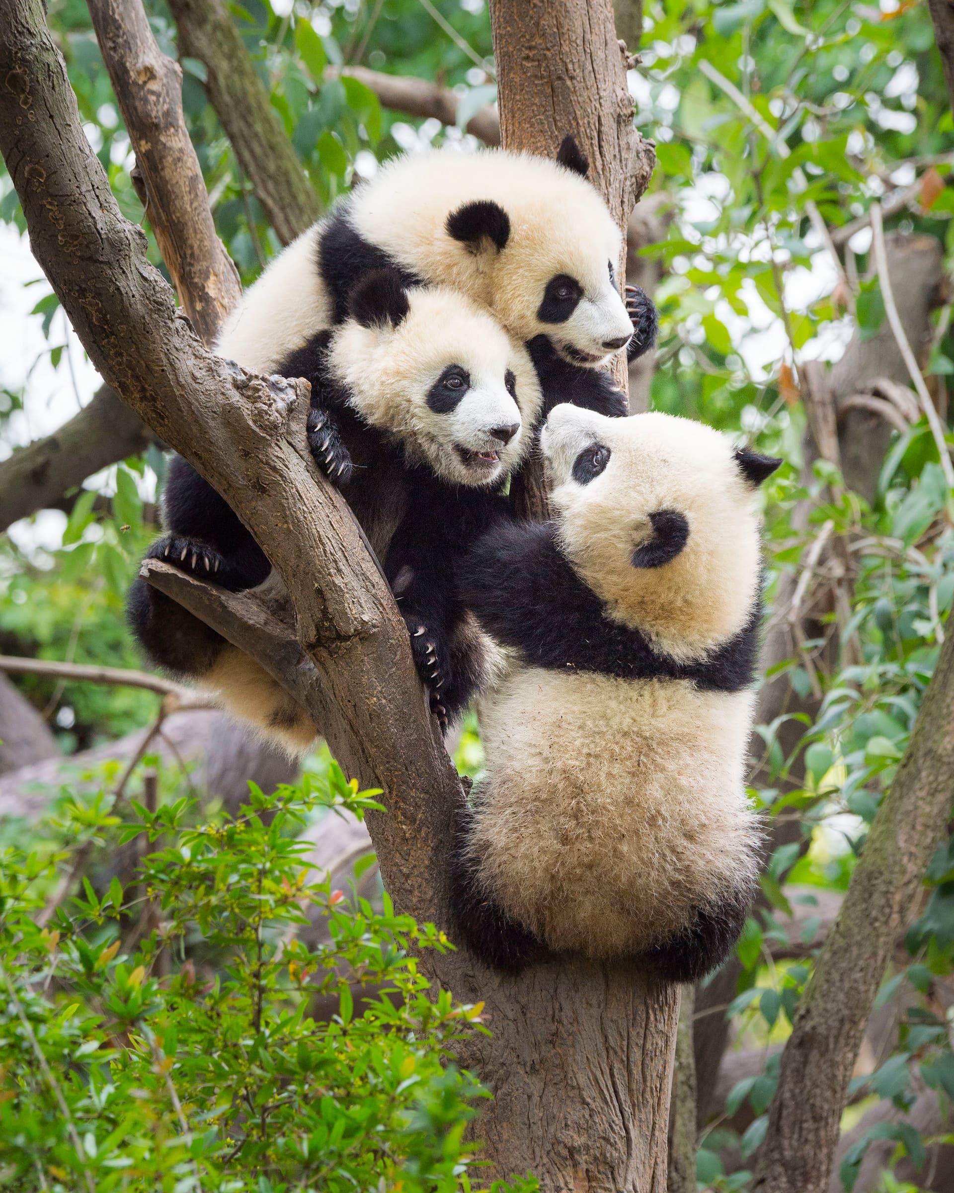 Drei junge Grosse Pandas auf einem Baum
