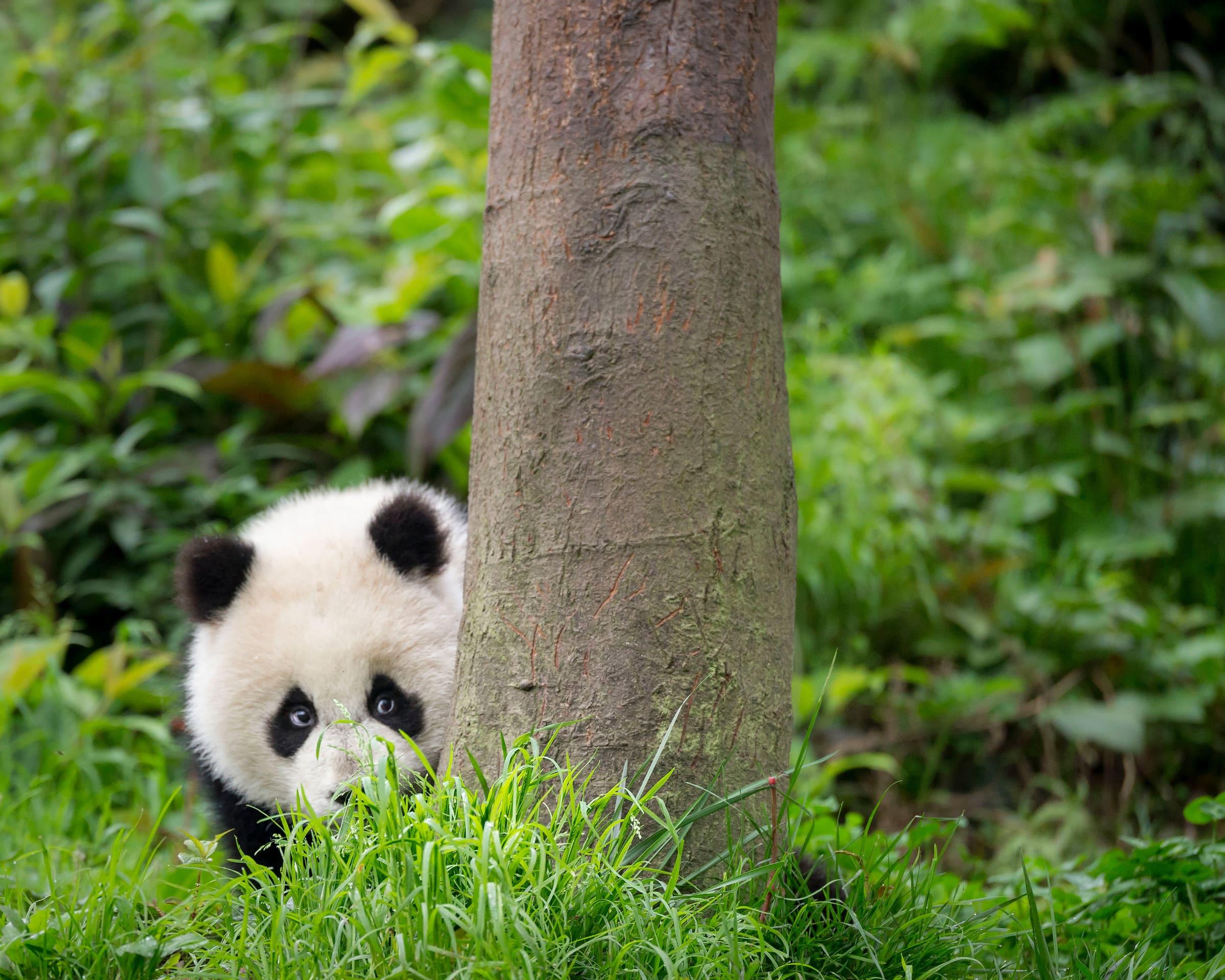 Grosser-Panda-Jungtier neben einem Baum