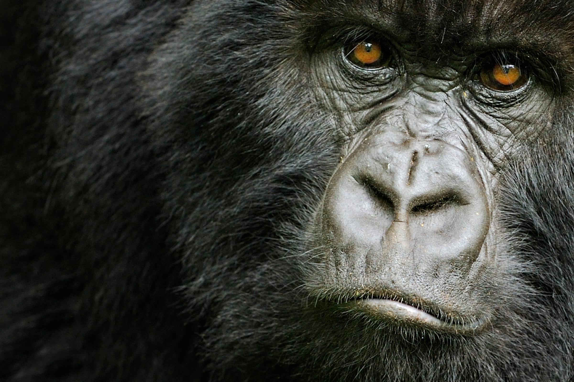 Un femelle gorille des plaines de l'est au Rwanda