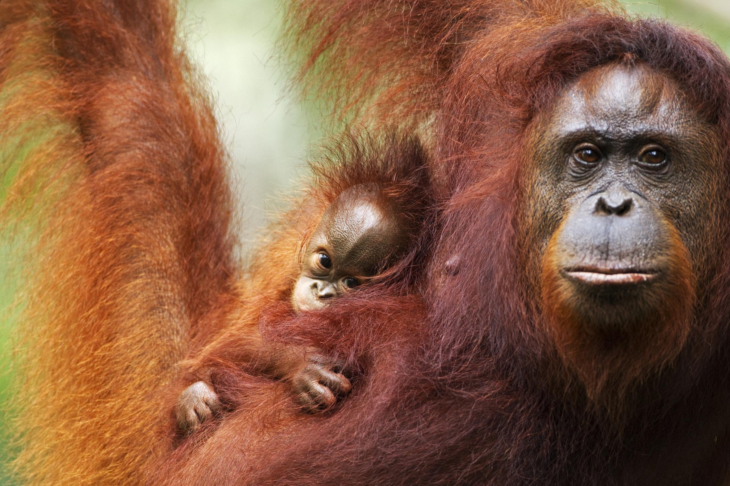 Borneo-Orang-Utan-Mutter mit Jungem