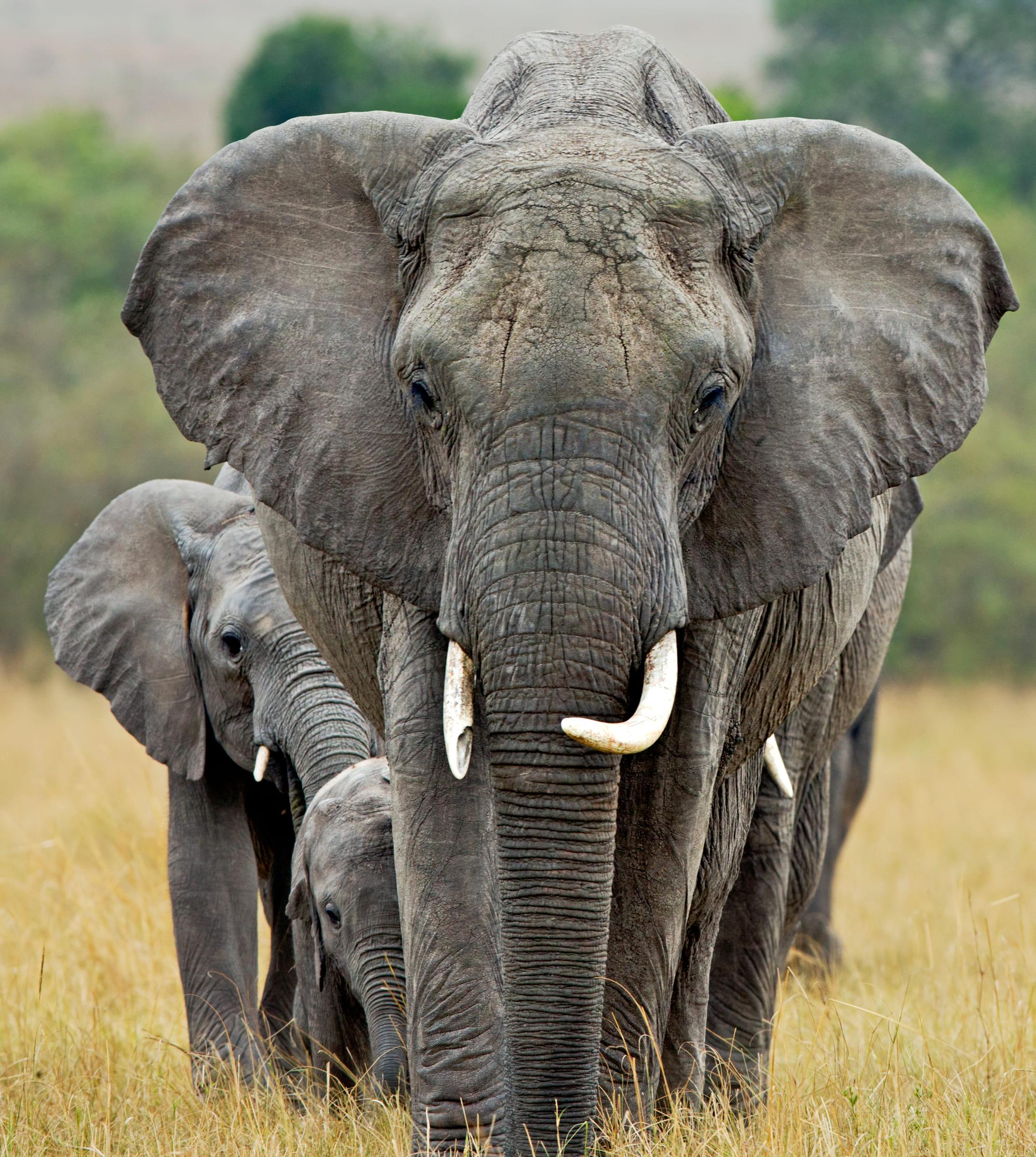 Afrikanische Elefanten in Kenia
