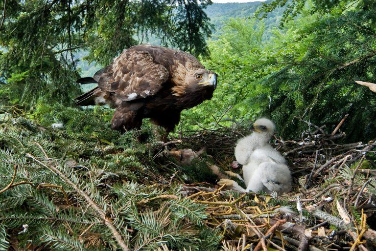 Un aigle et son petit