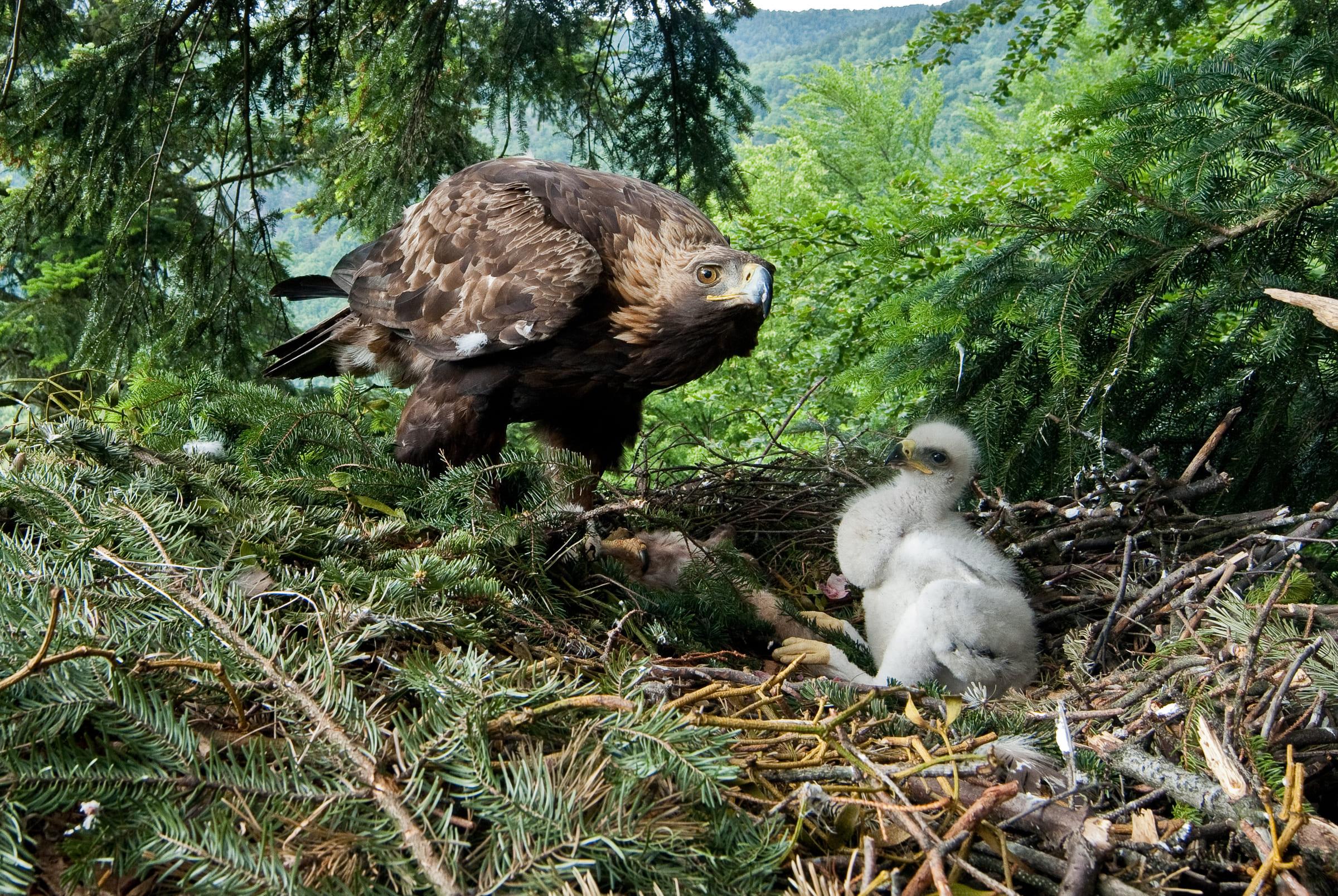 Aquila reale con un giovane