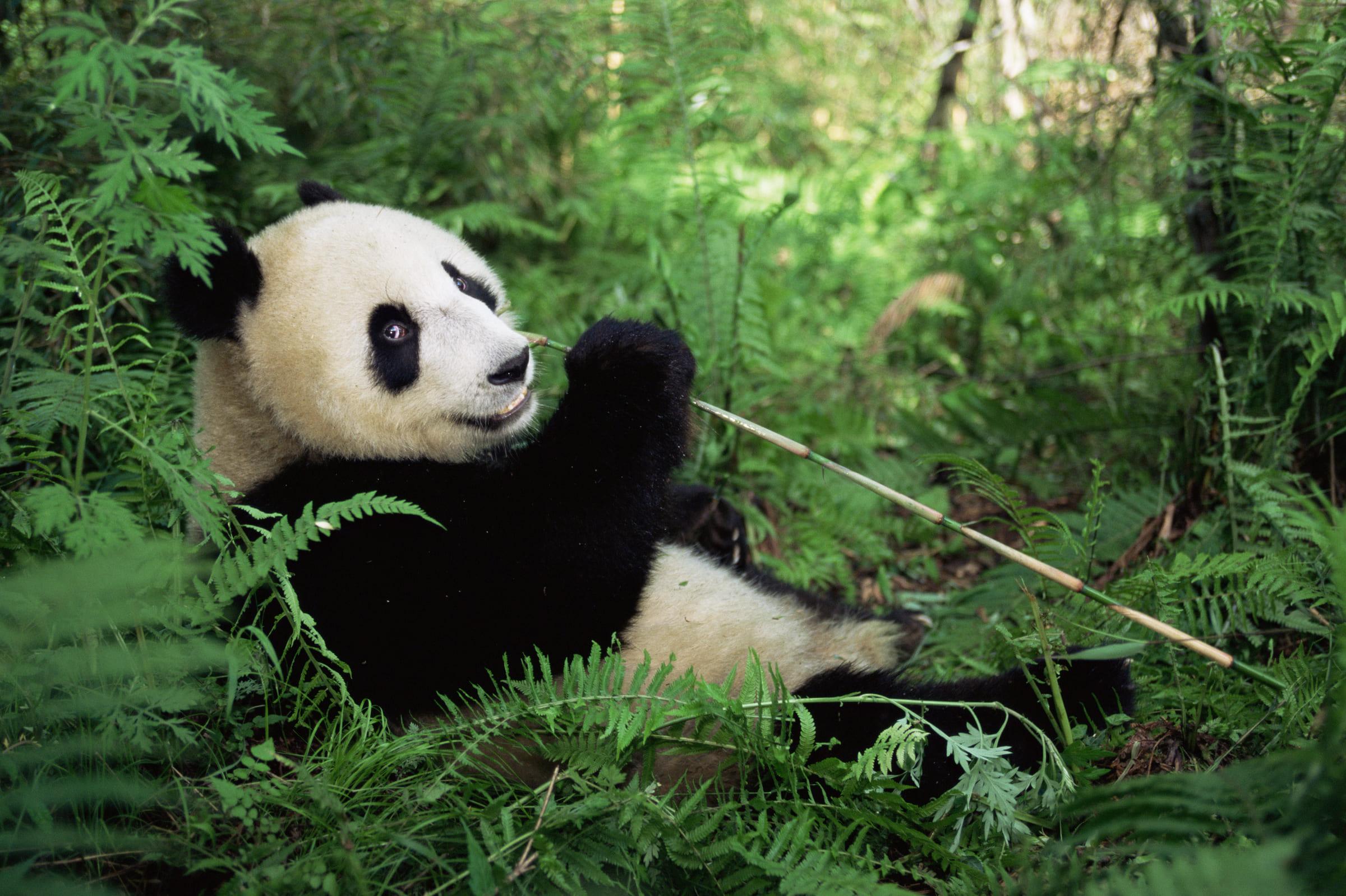 Grosser Panda beim Fressen