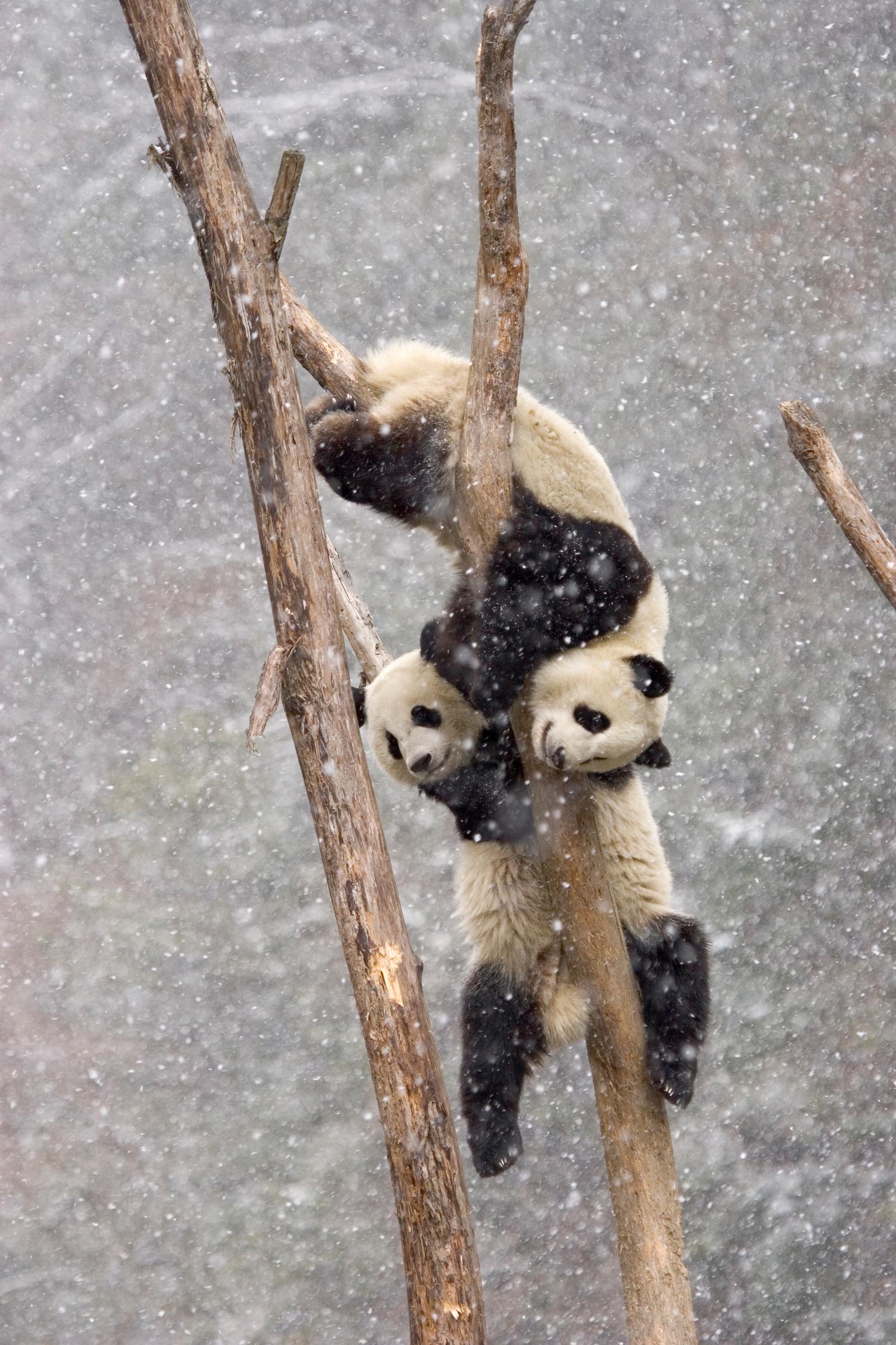 Grosse Pandas im Schnee, Sichuan, China
