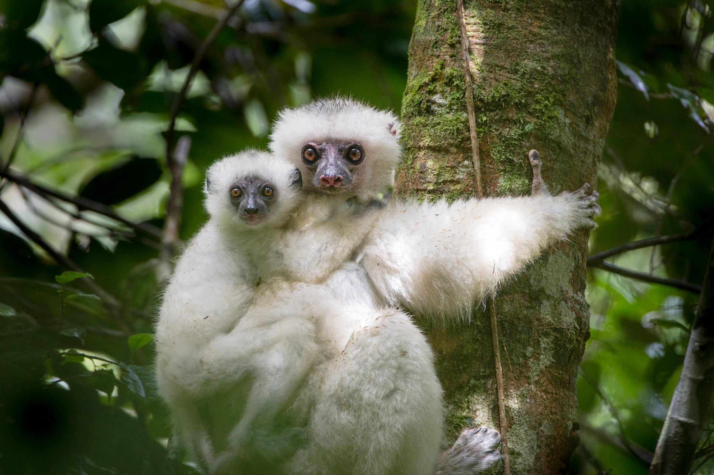 Seidensifaka-Weibchen mit Jungem
