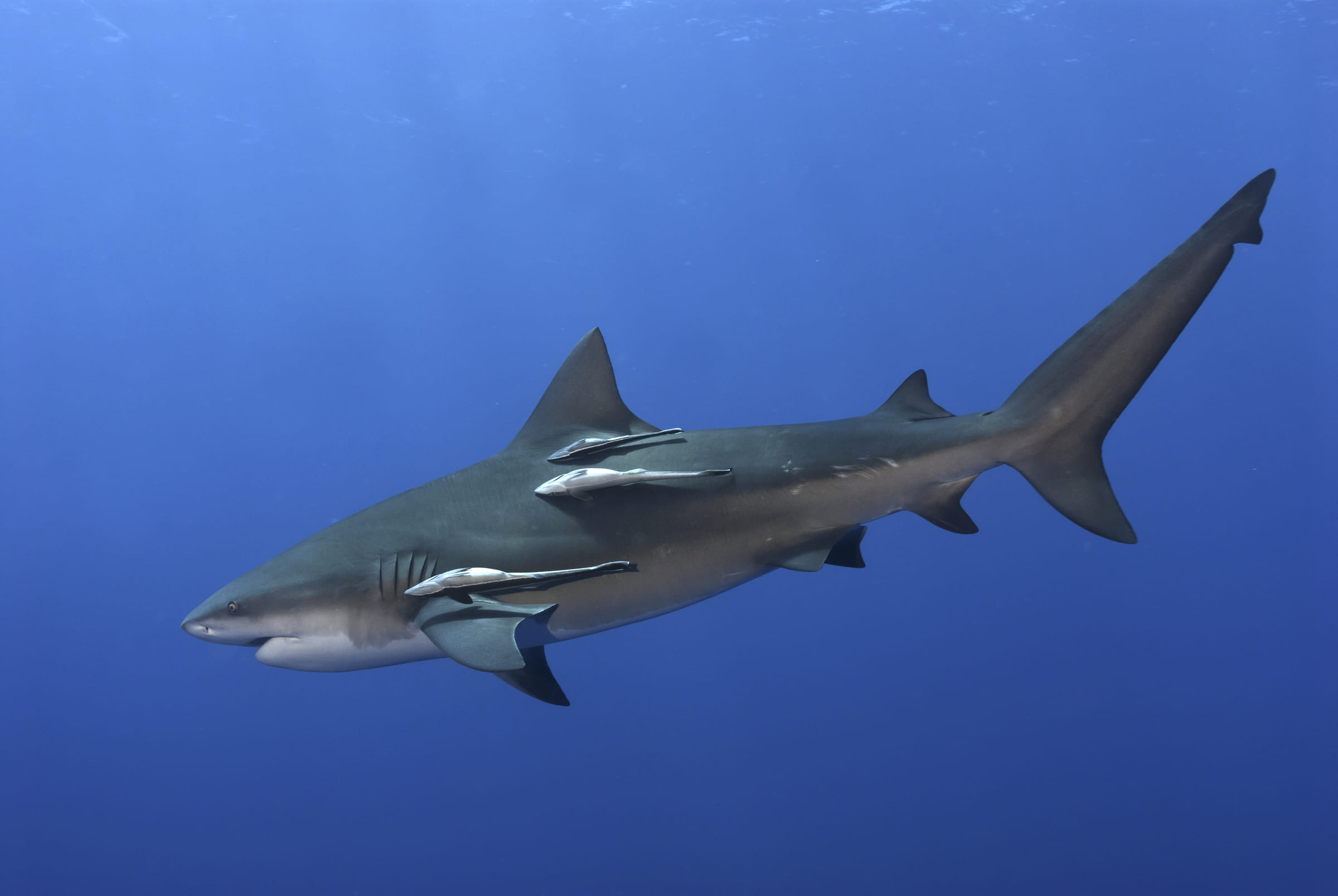 Bullenhai mit Schiffshalter