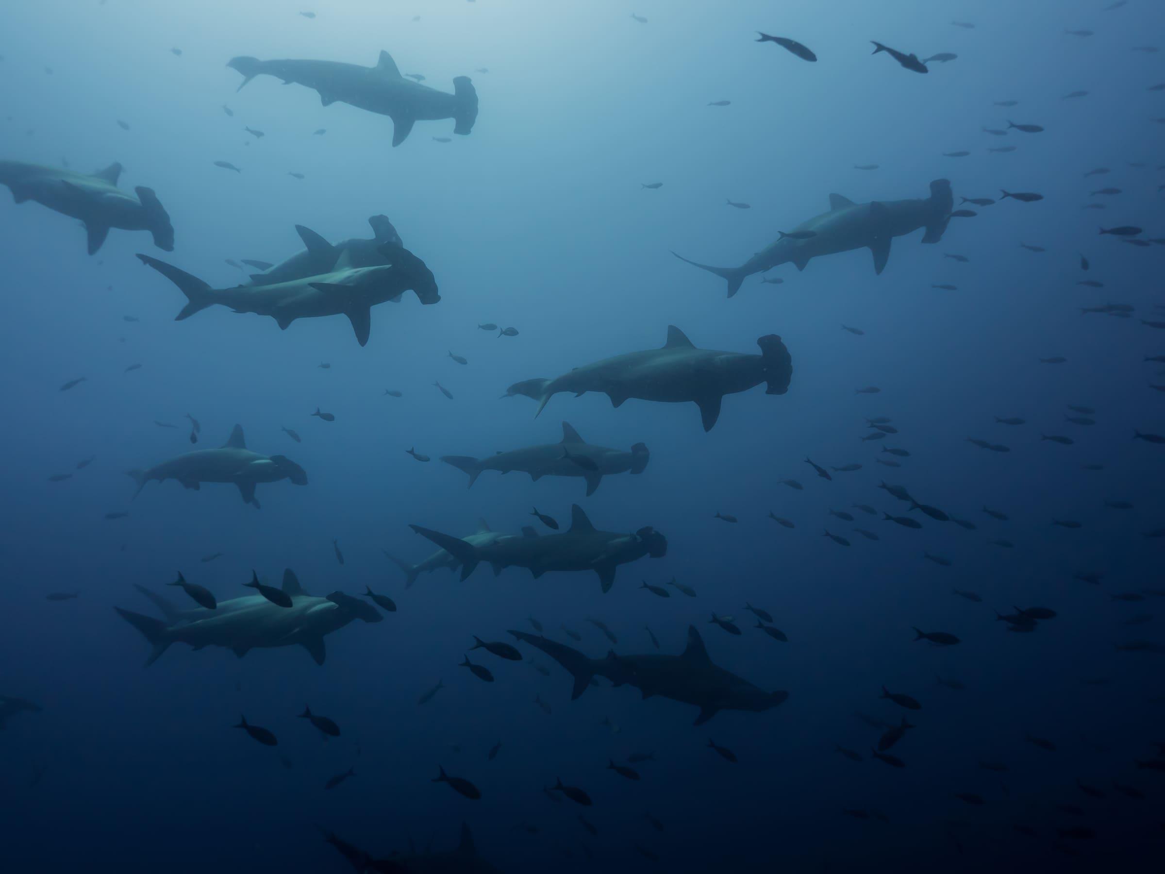 Hammerhaie in der Gruppe