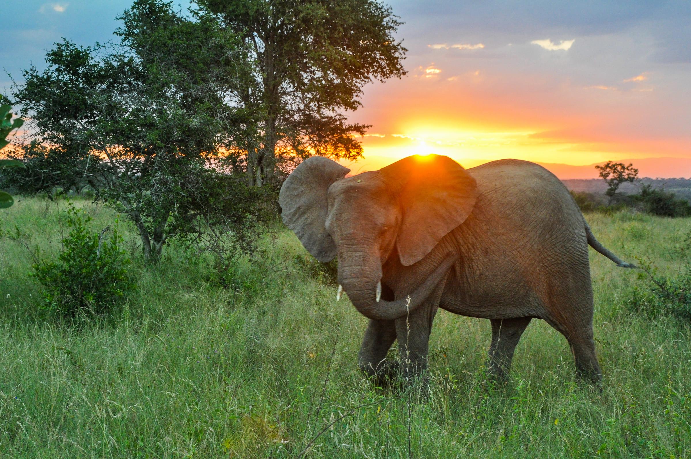 Afrikanischer Elefant mit Sonnenuntergang