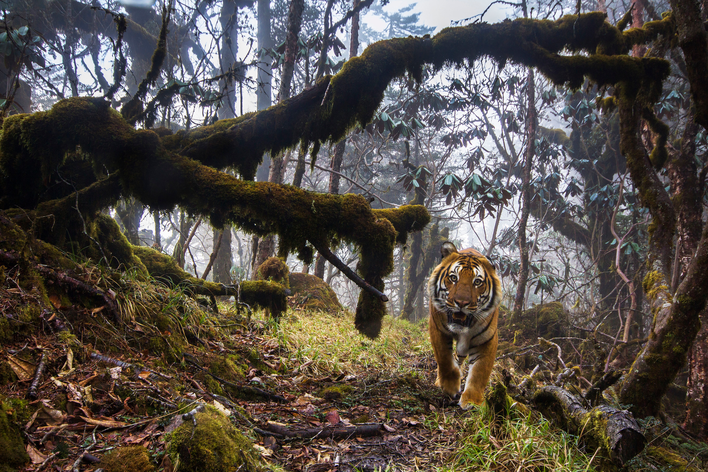 Bengaltiger im Tropenwald