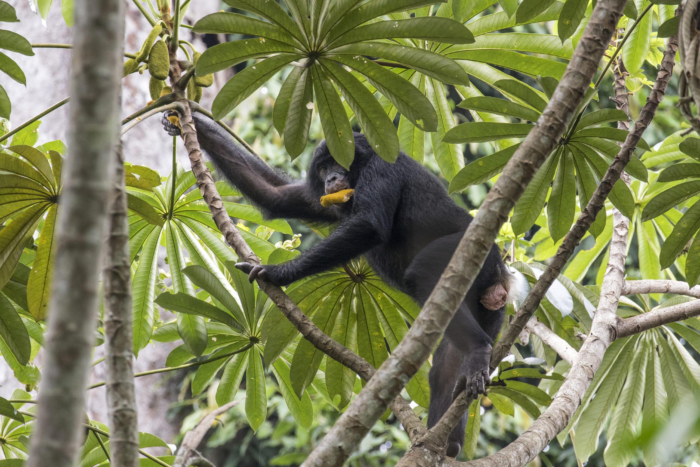Bonobo im Baum