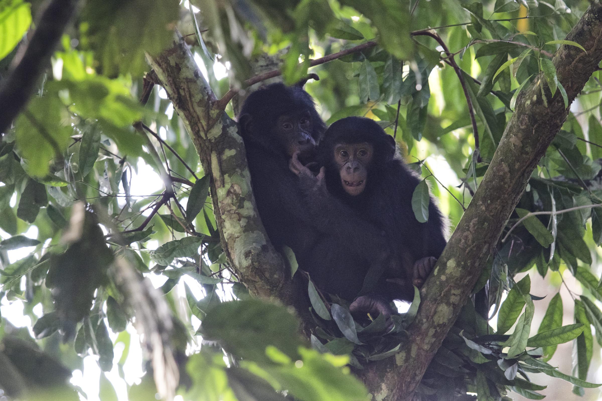 Zwei Bonobos im Baum