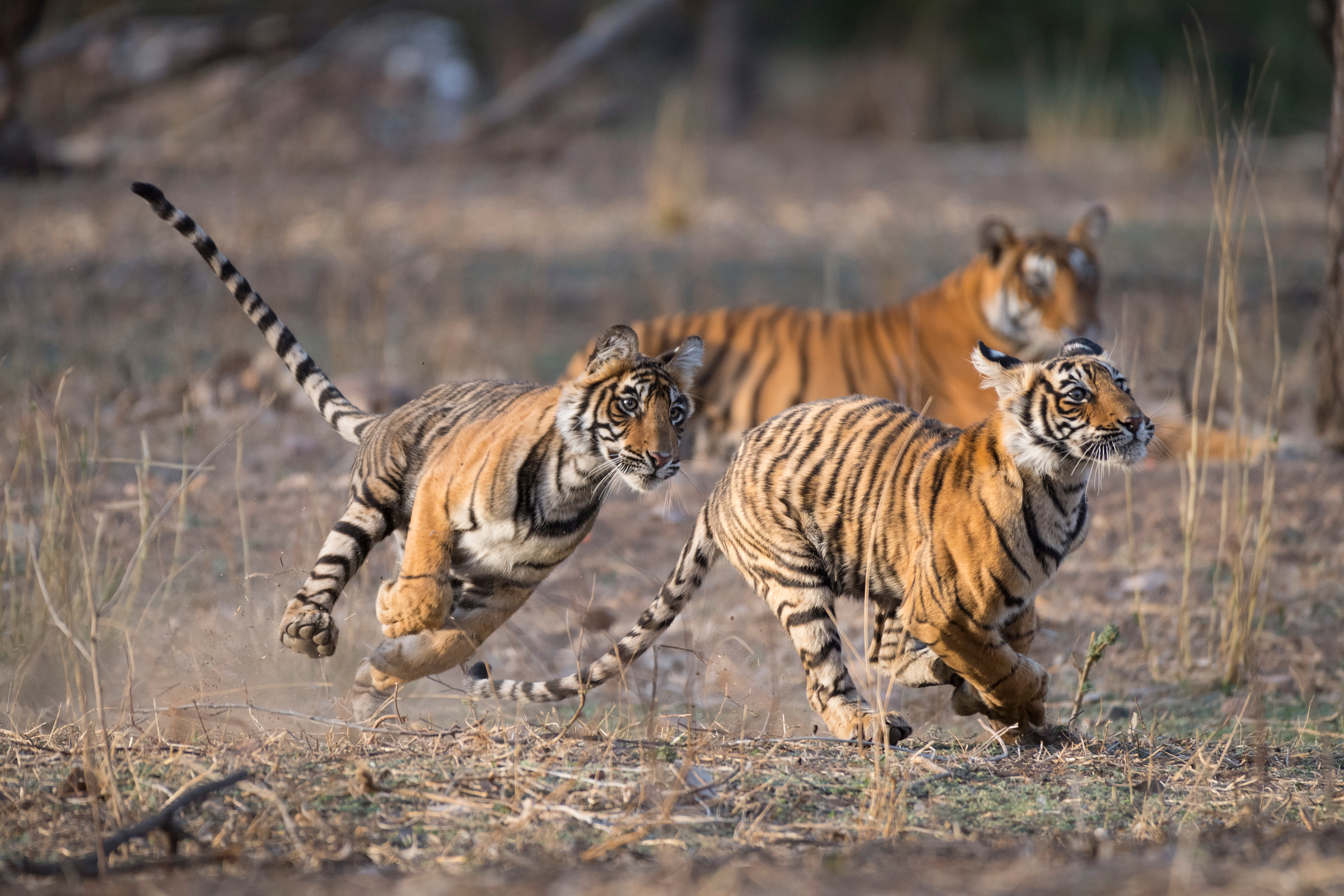Zwei junge Tiger beim Spielen, Indien