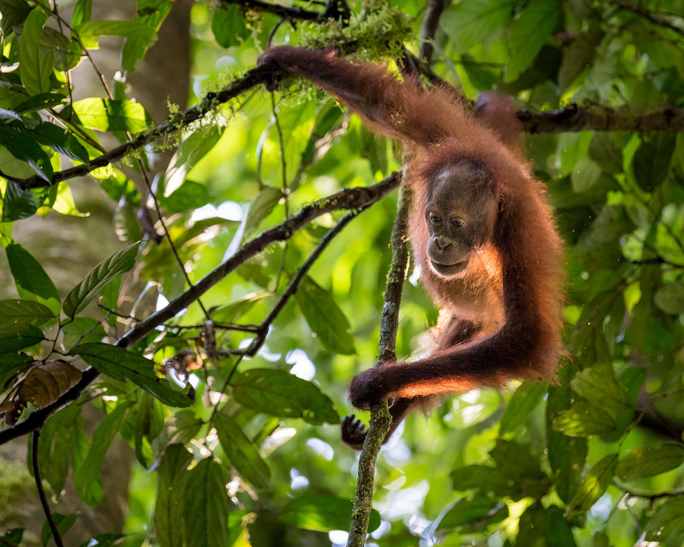 Borneo-Orang-Utan im Baum