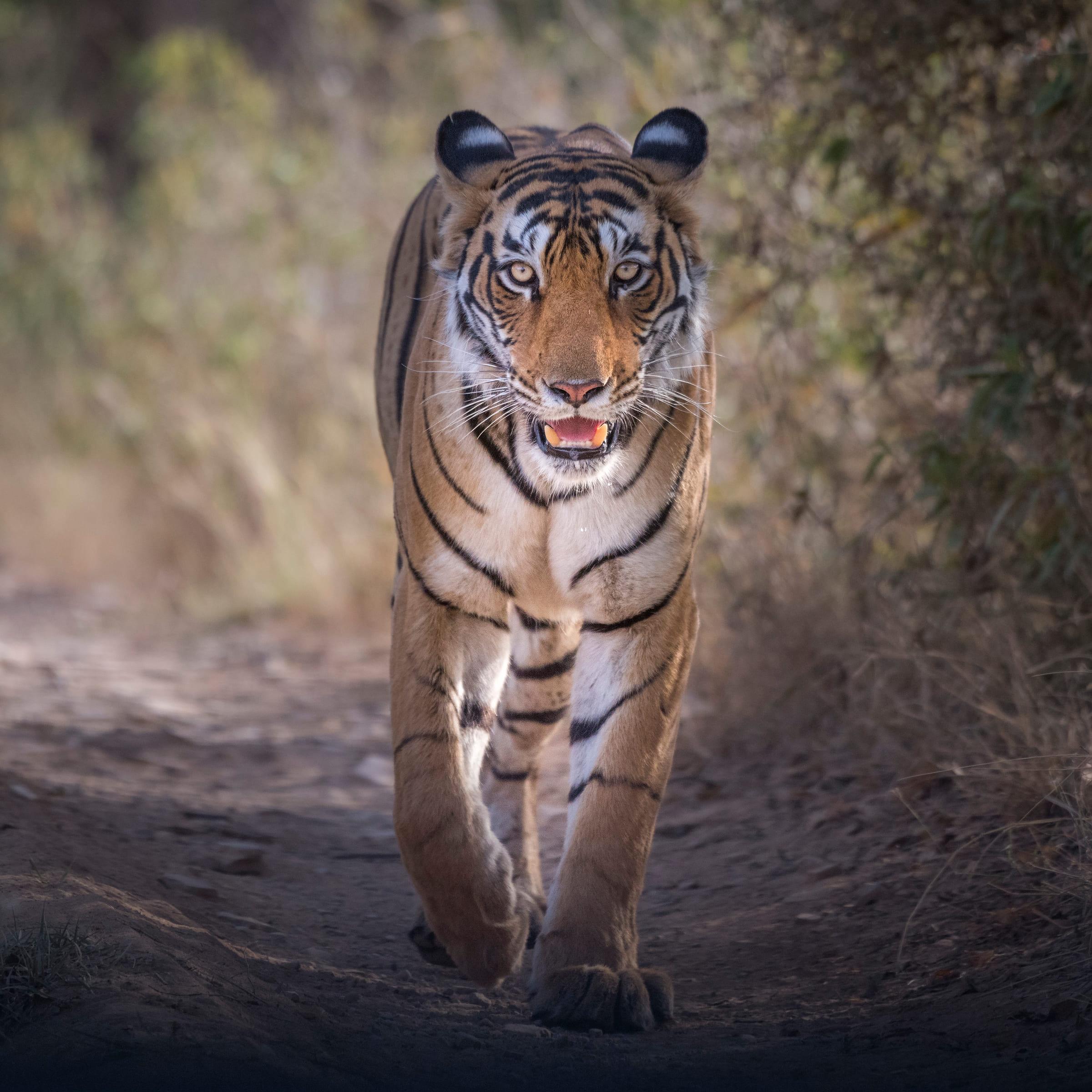 Laufender Tiger