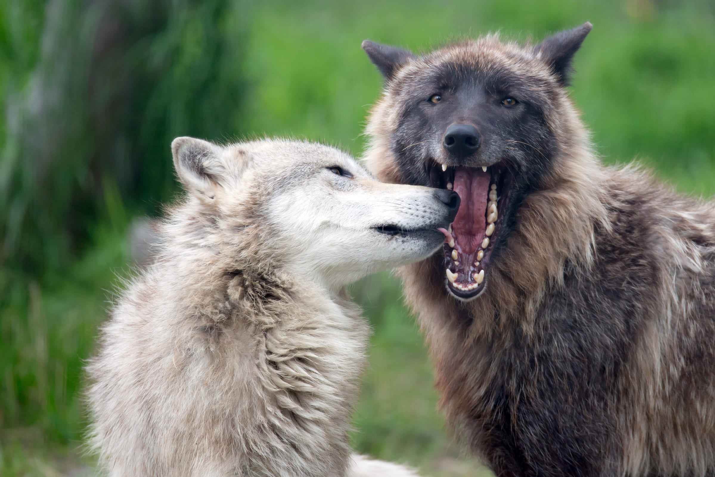 Zwei Graue Wölfe