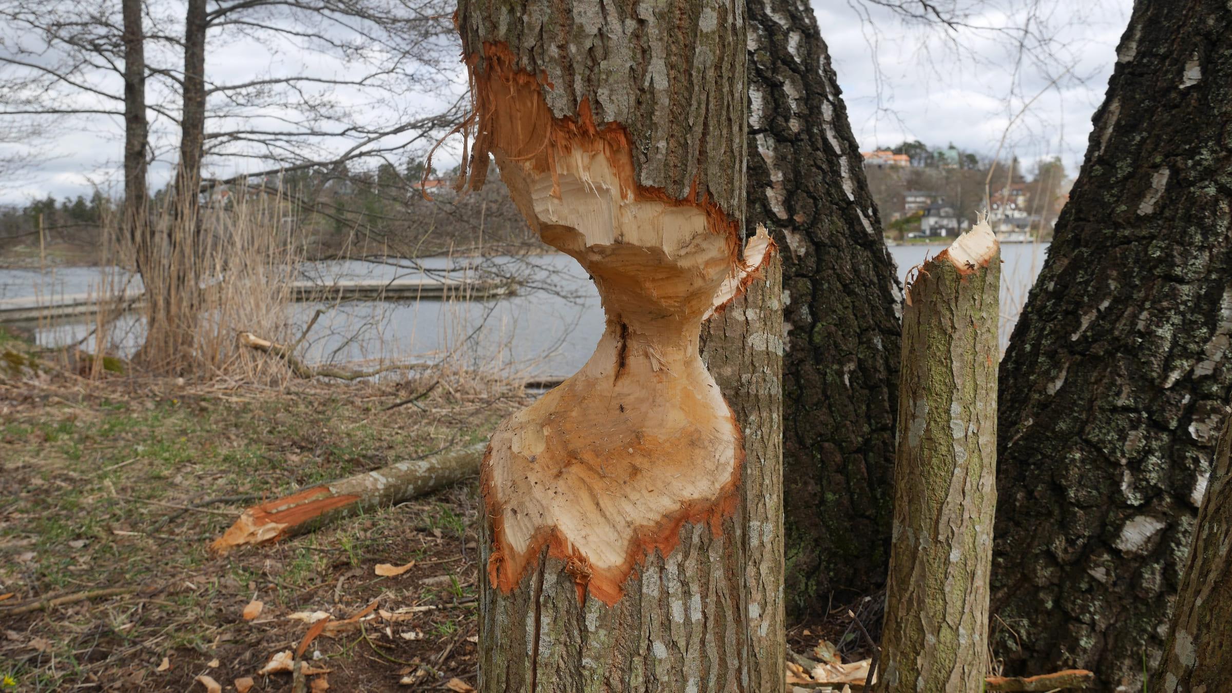 Ein Baum, der von einem Biber benagt wurde.