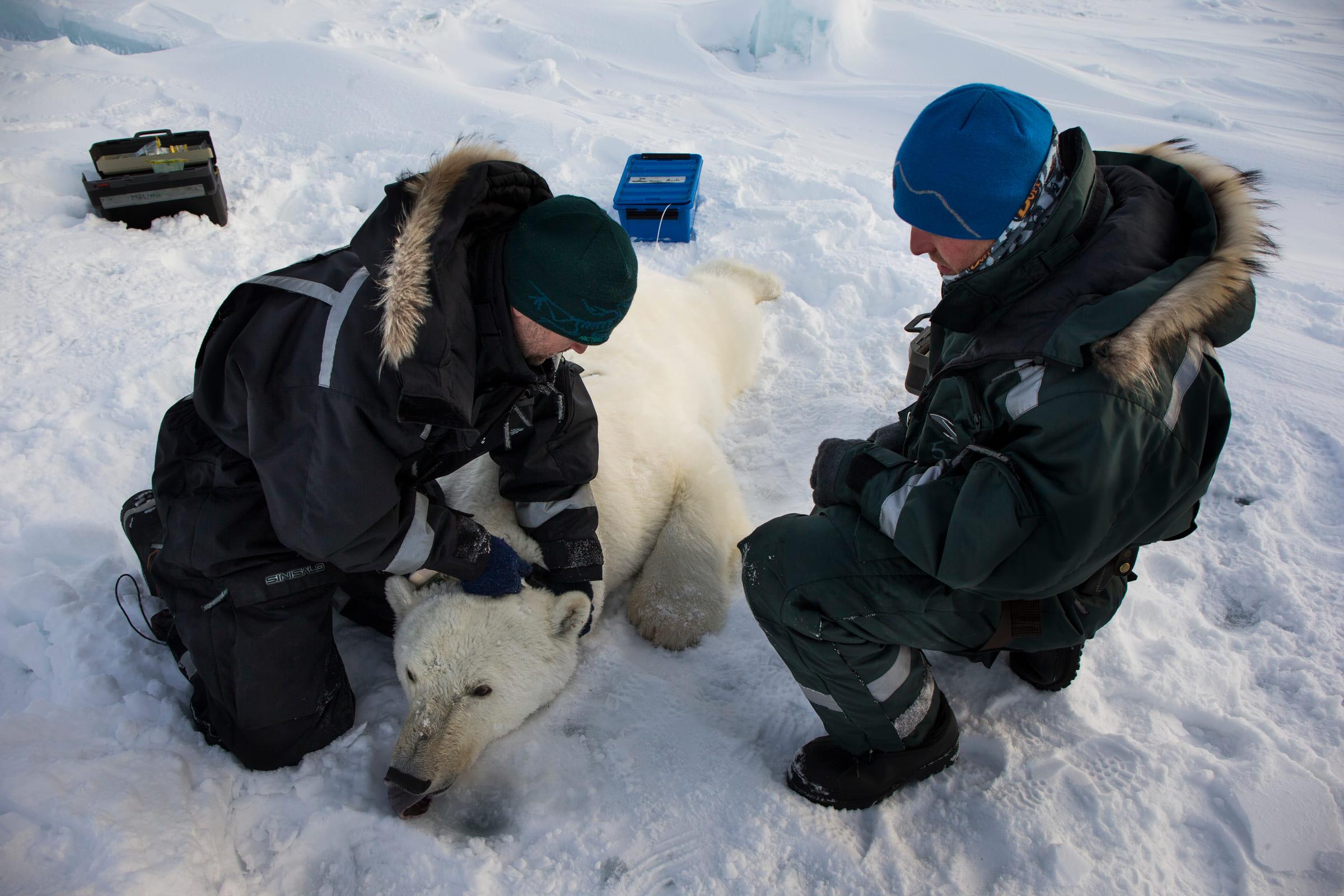 Forscher legen einem Eisbären ein Senderhalsband um.