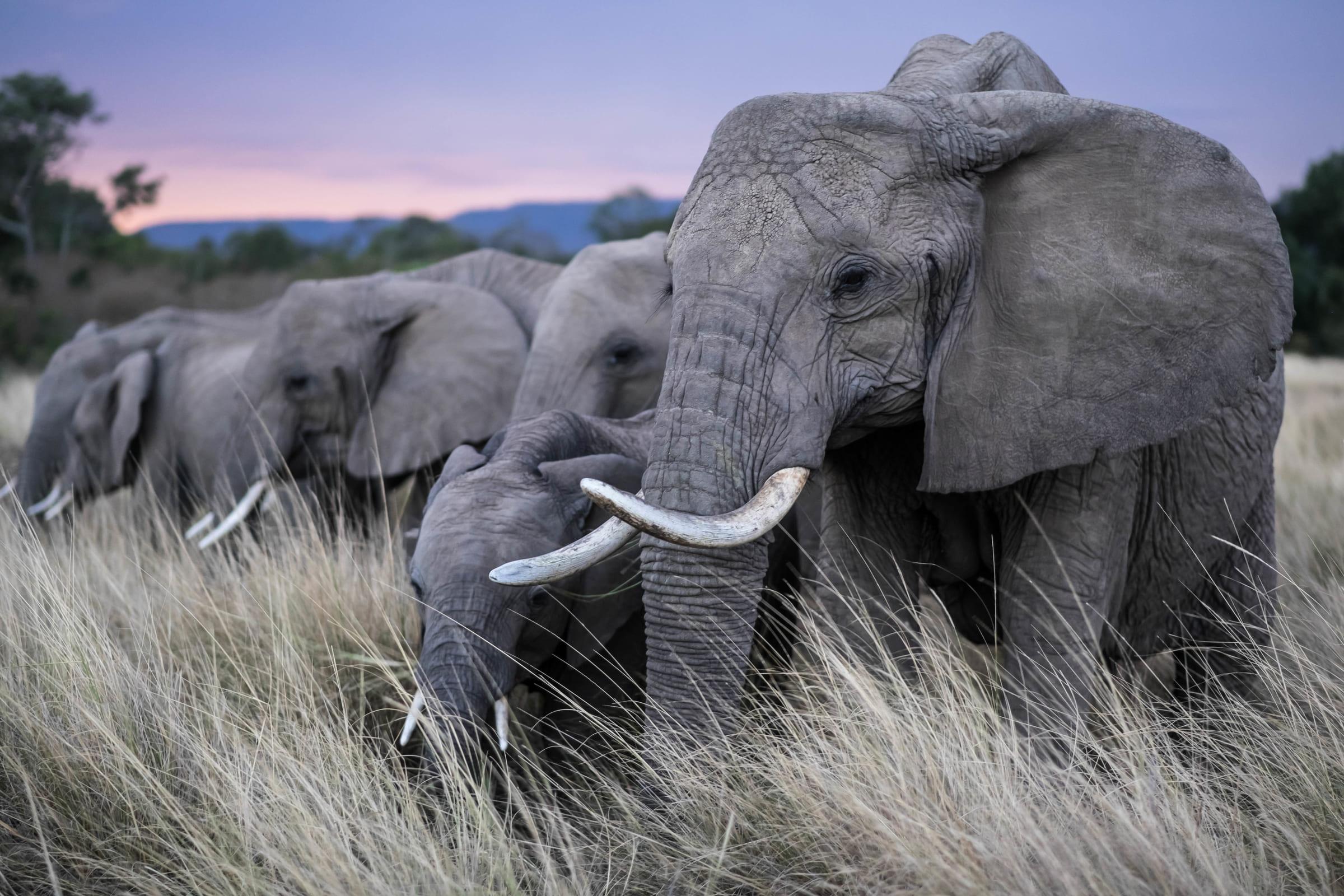 Elefantenherde im hohen Gras