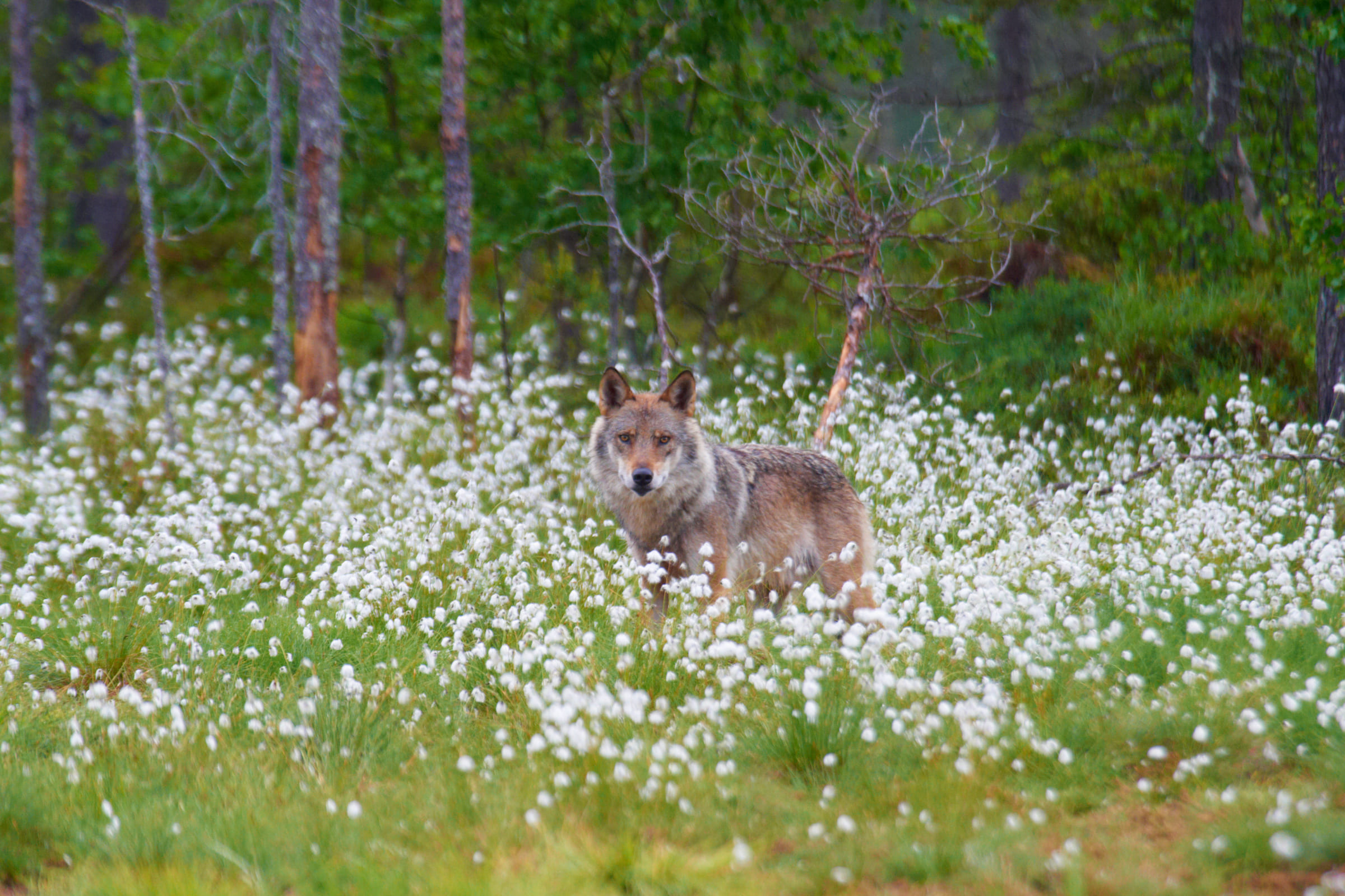 Wolf in Blumenwiese