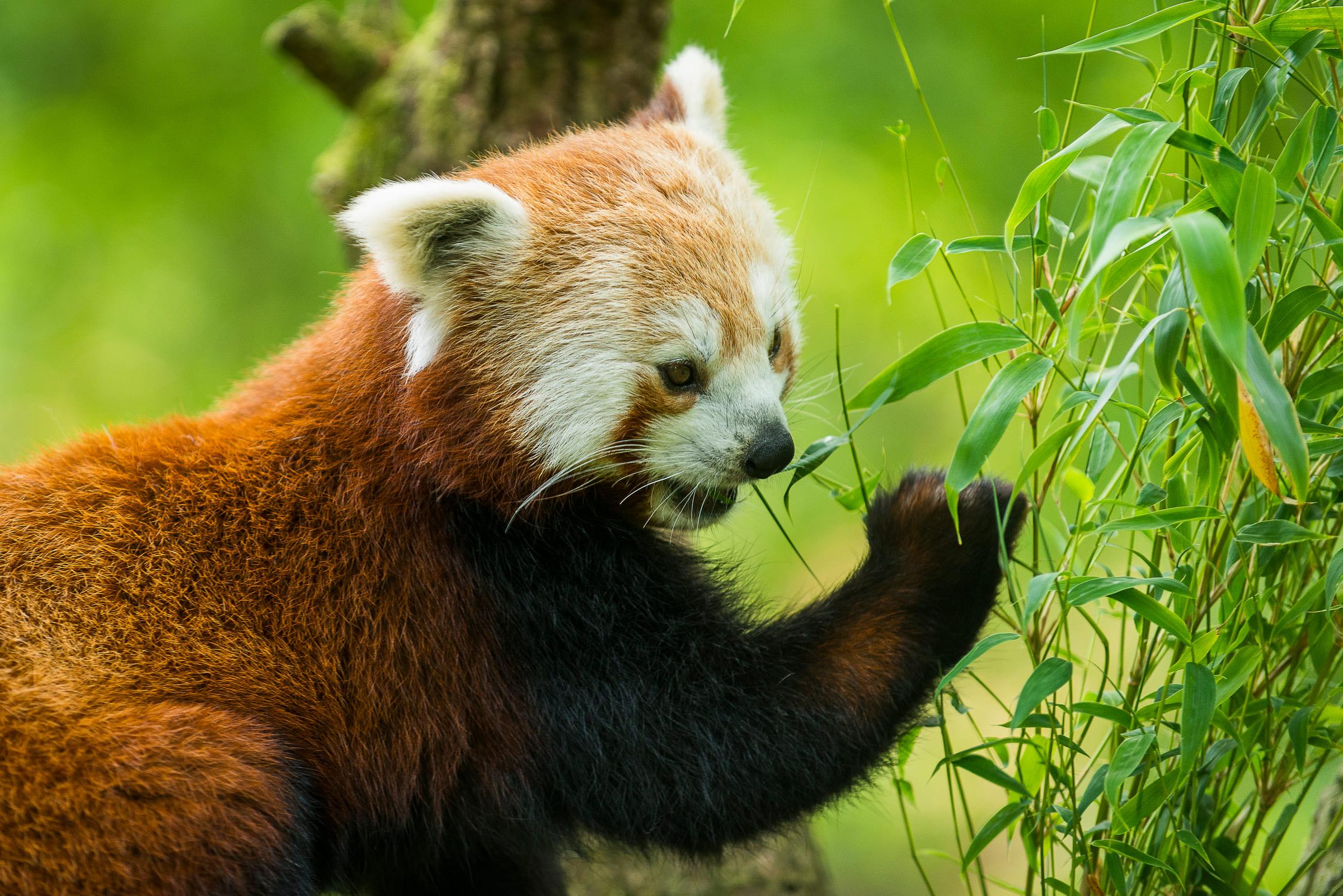Un panda roux mange des bambous.