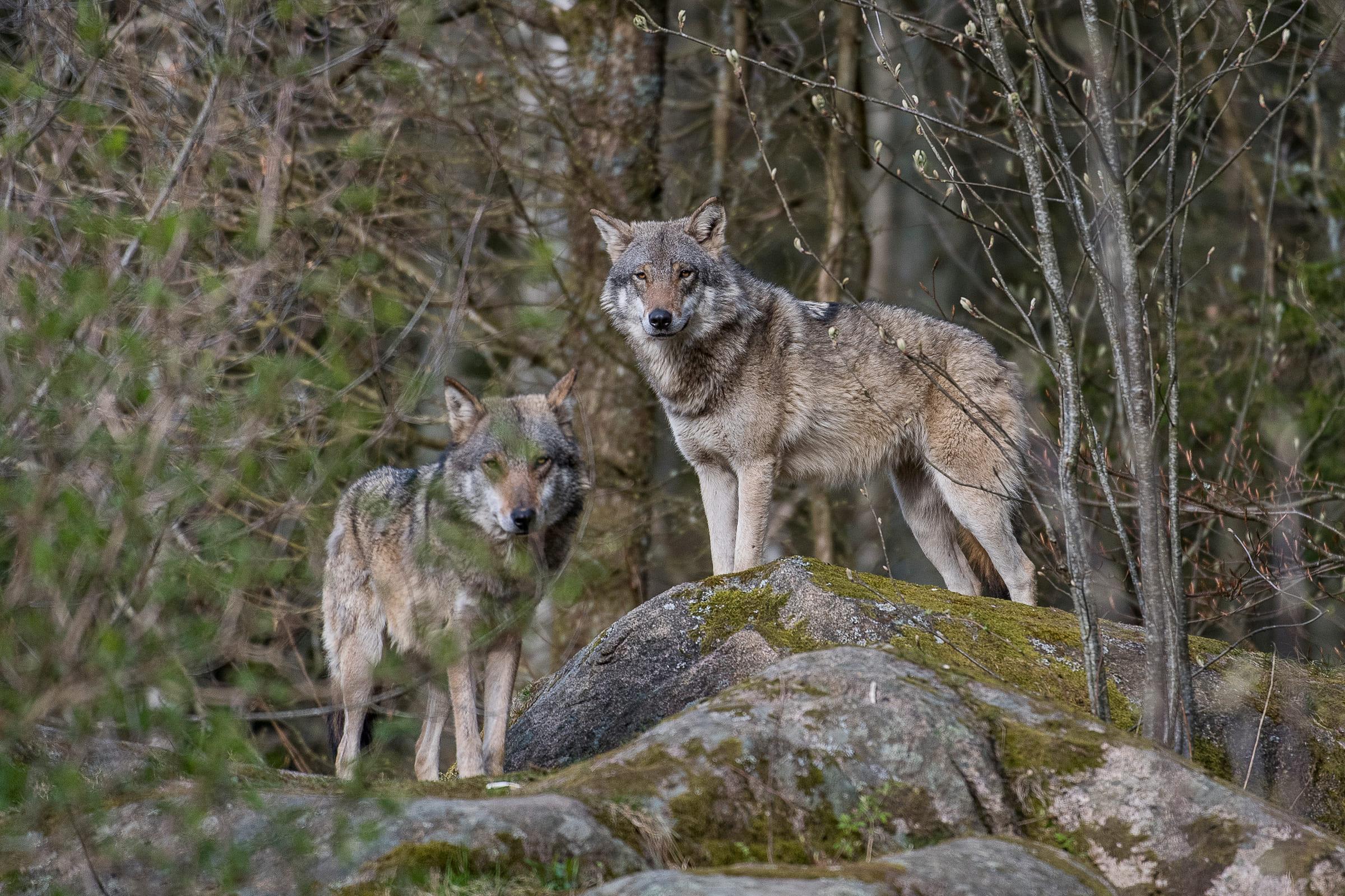 Zwei Wölfe auf Felsen