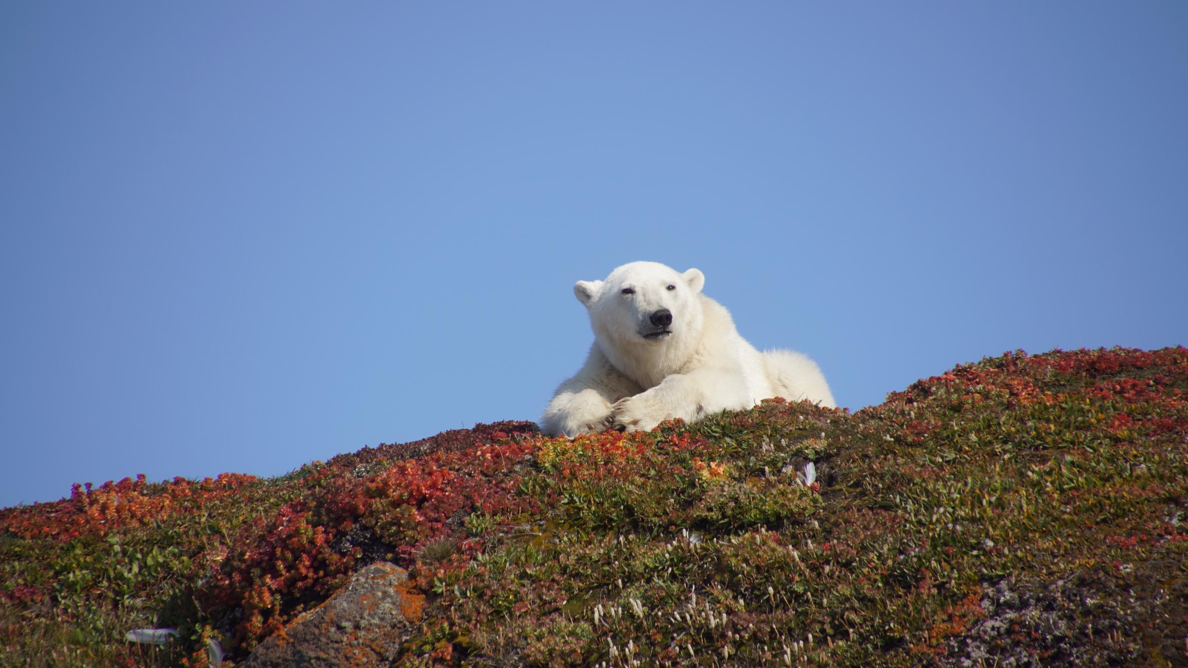 Un ours polaire sur la côte du Groenland