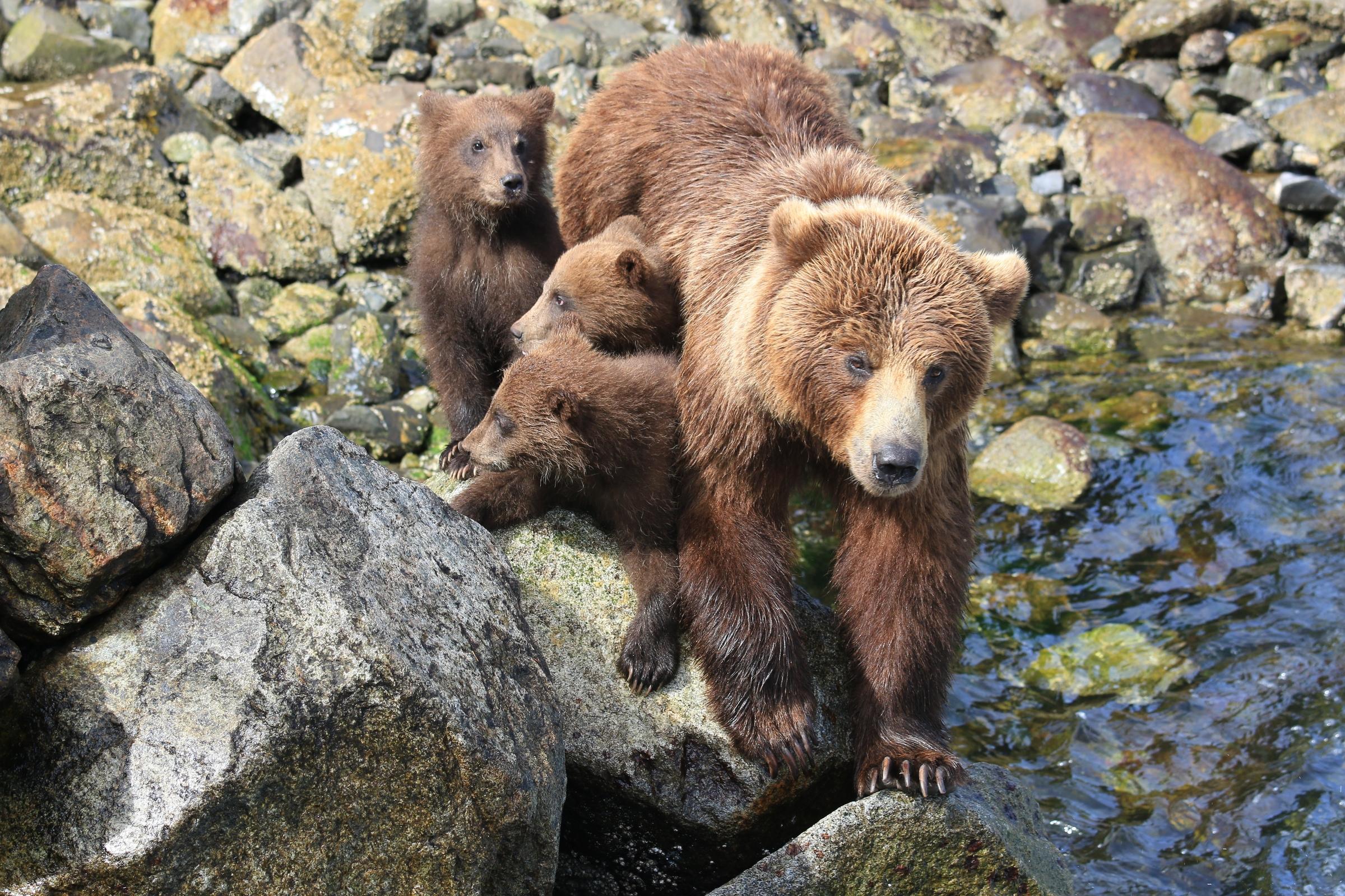 Braunbärin mit Jungen in Alaska