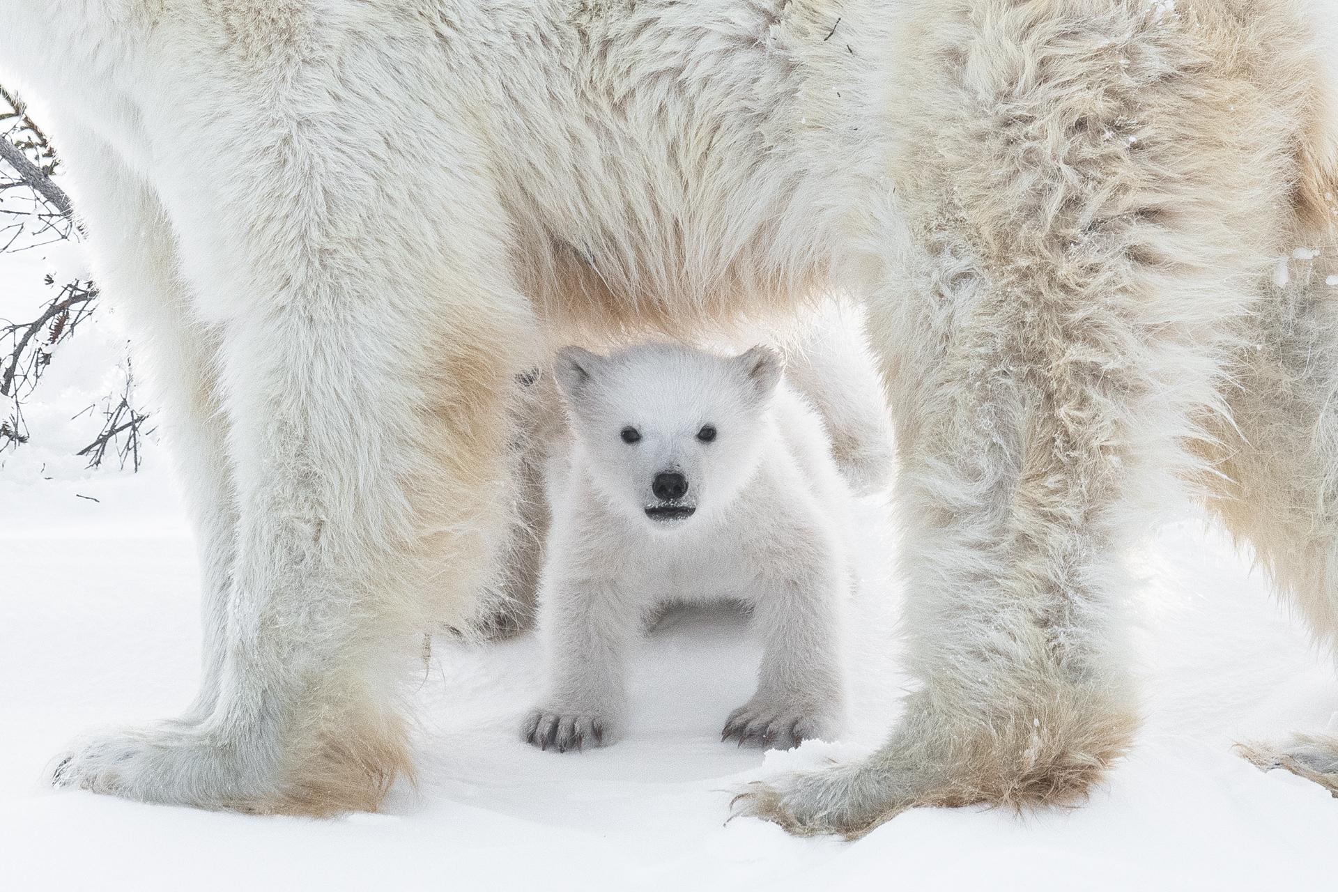 Un jeune ours polaire sous sa mère