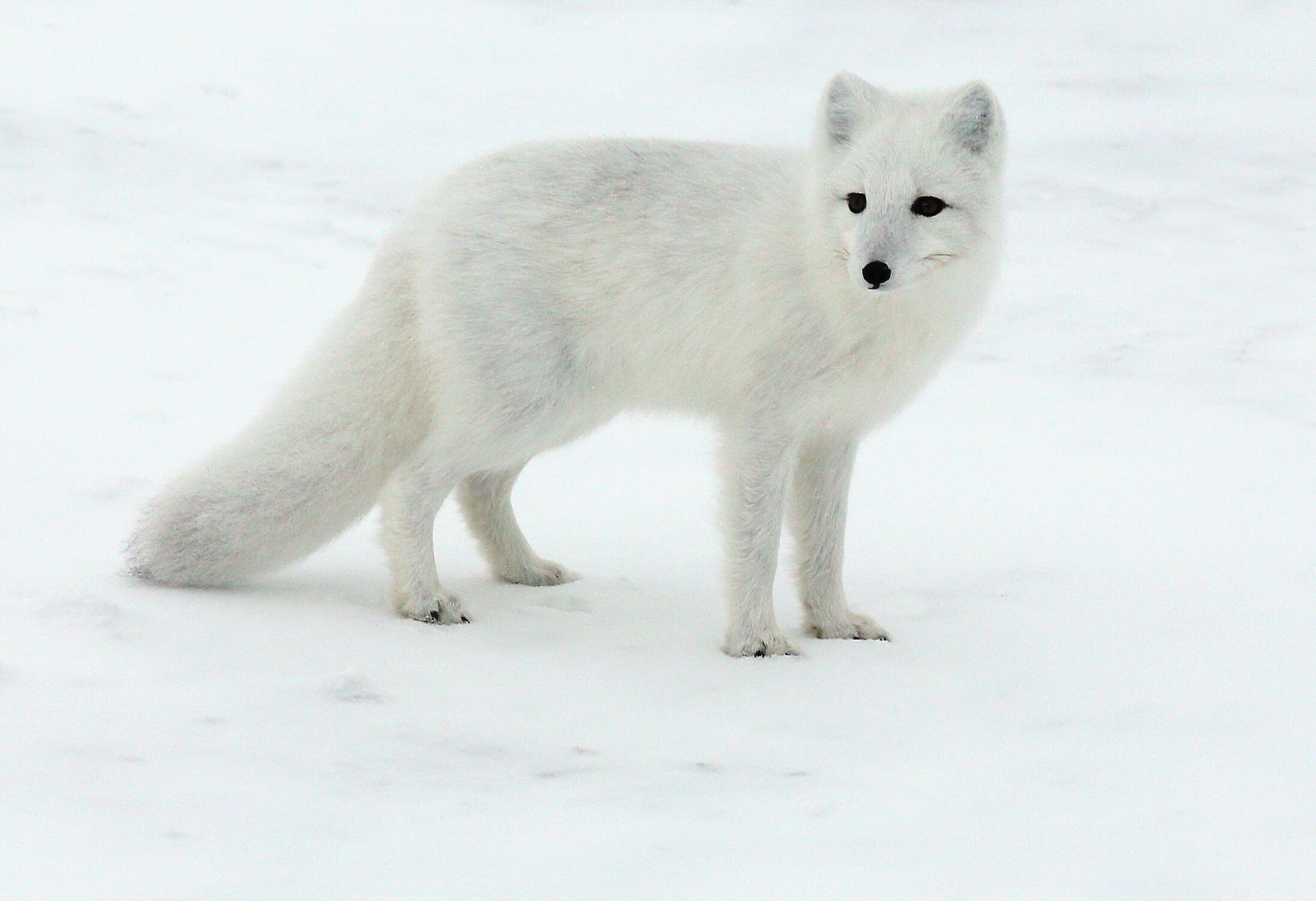 Un renard polaire dans la neige