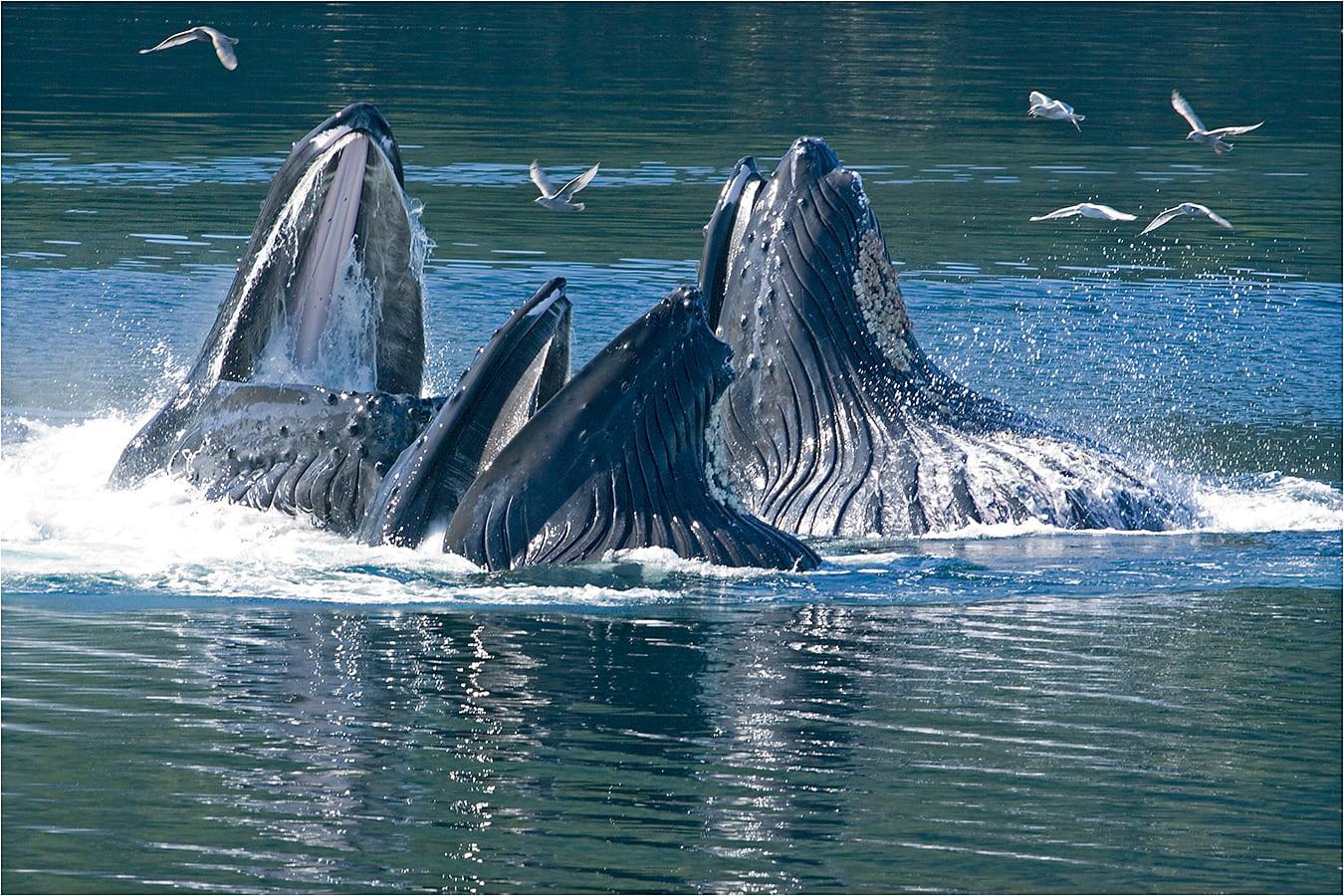 Drei Buckelwale beim Fressen