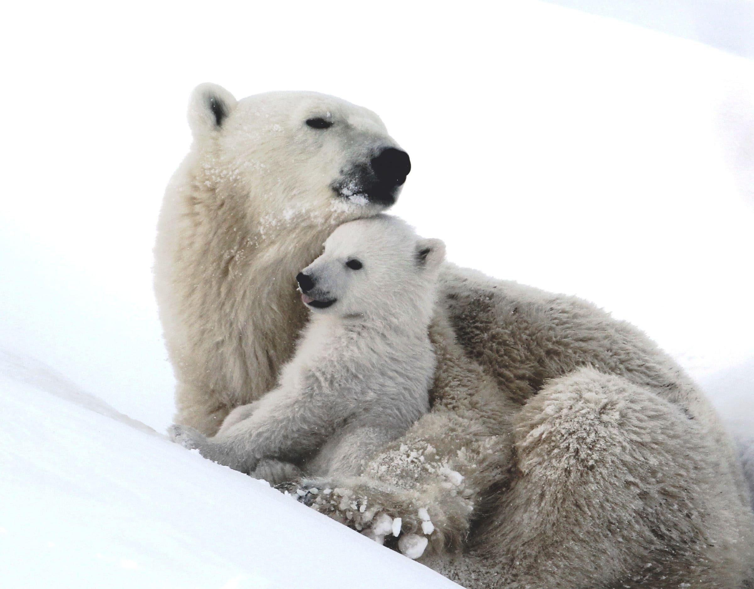 Mère ours blanc et son petit