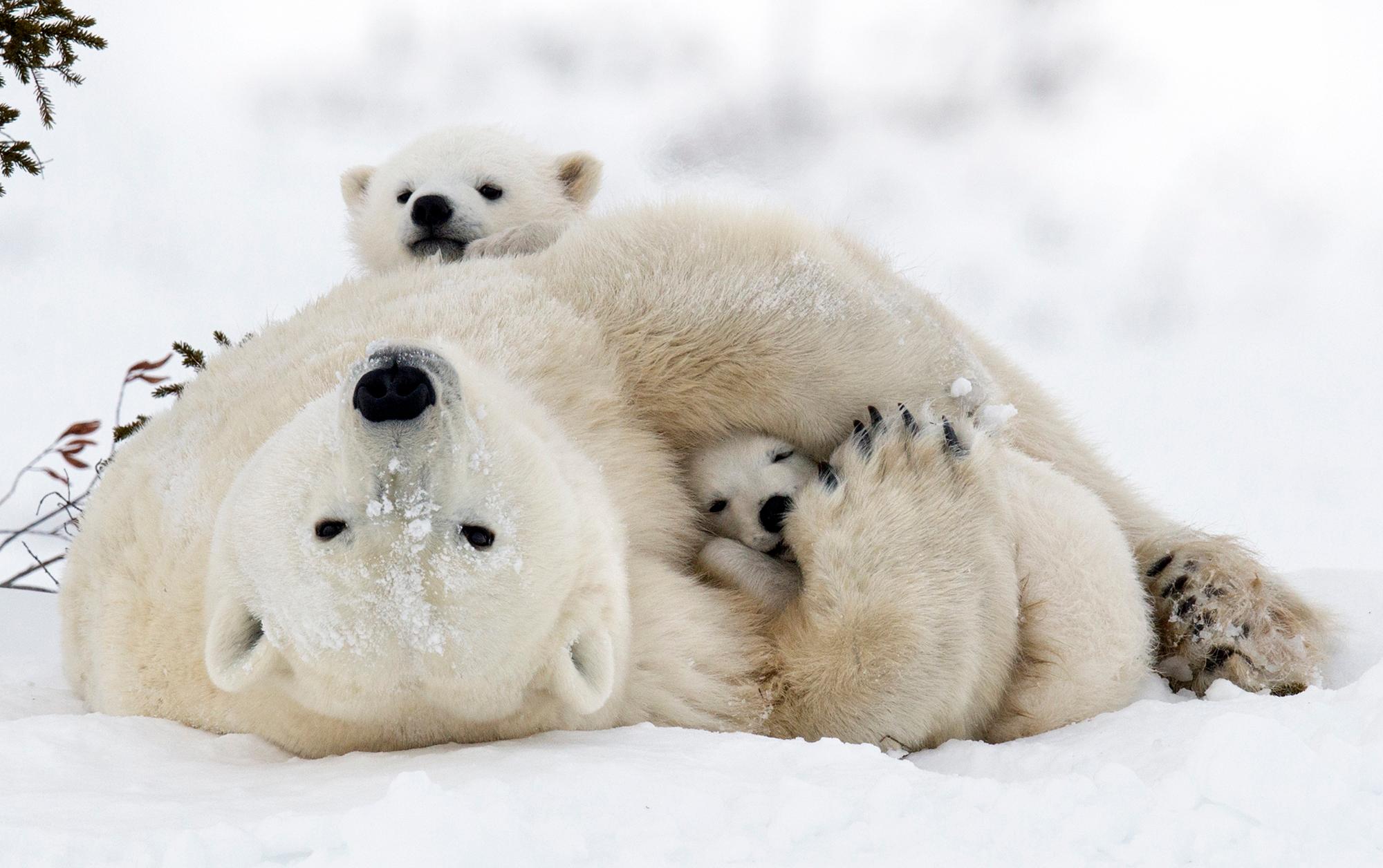 Eisbärenmutter mit Jungen