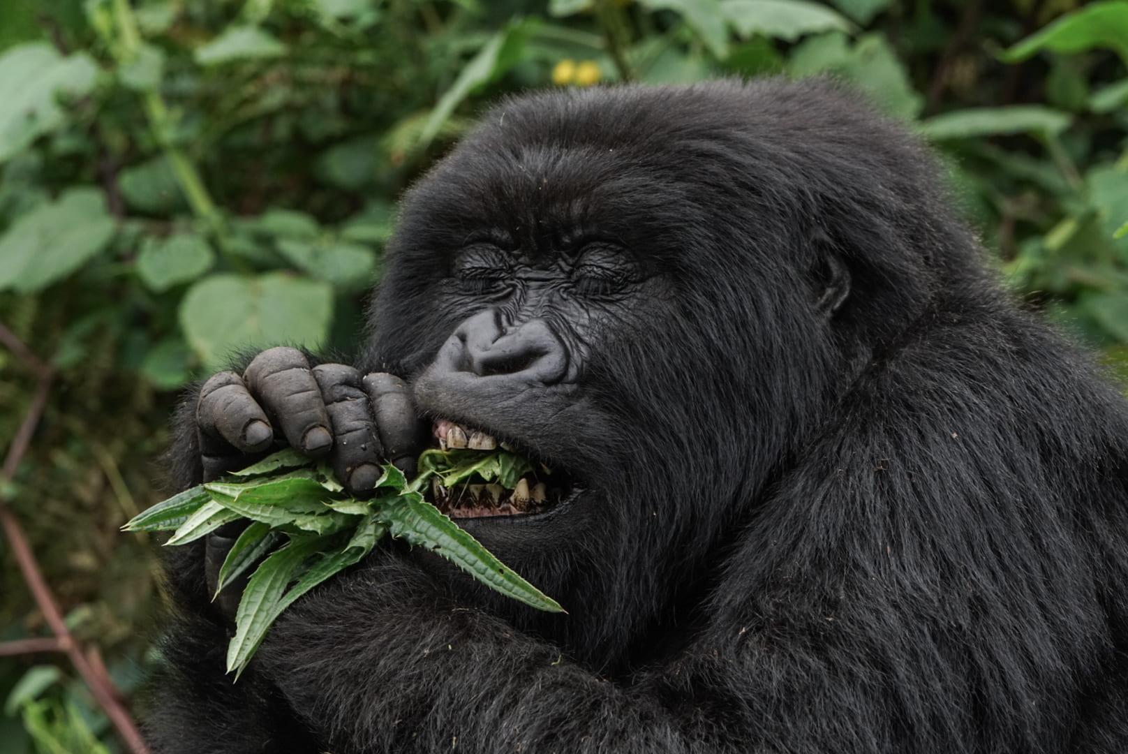 Berggorilla beim Fressen