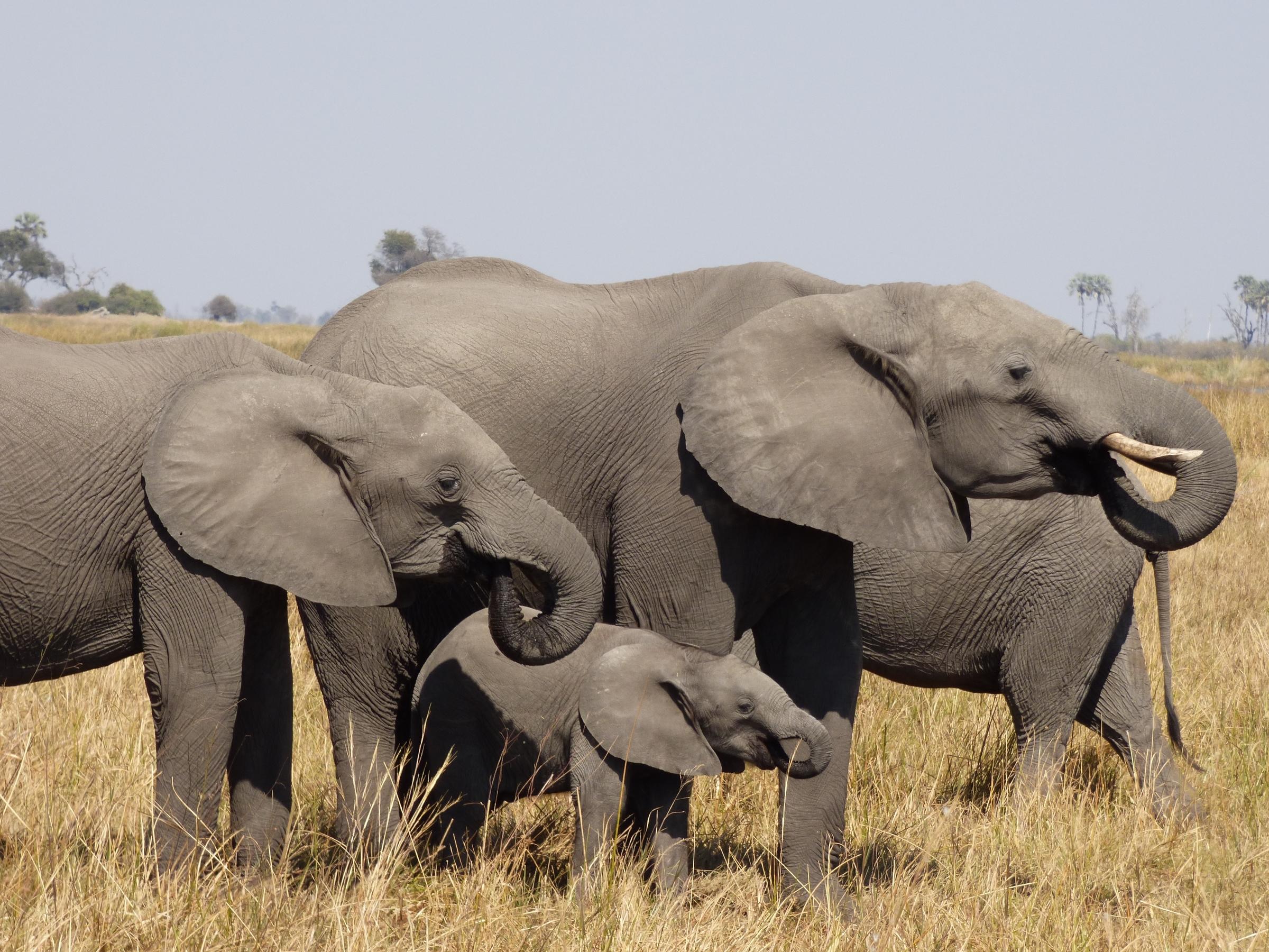 Afrikanische Elefanten mit Kalb, Botswana