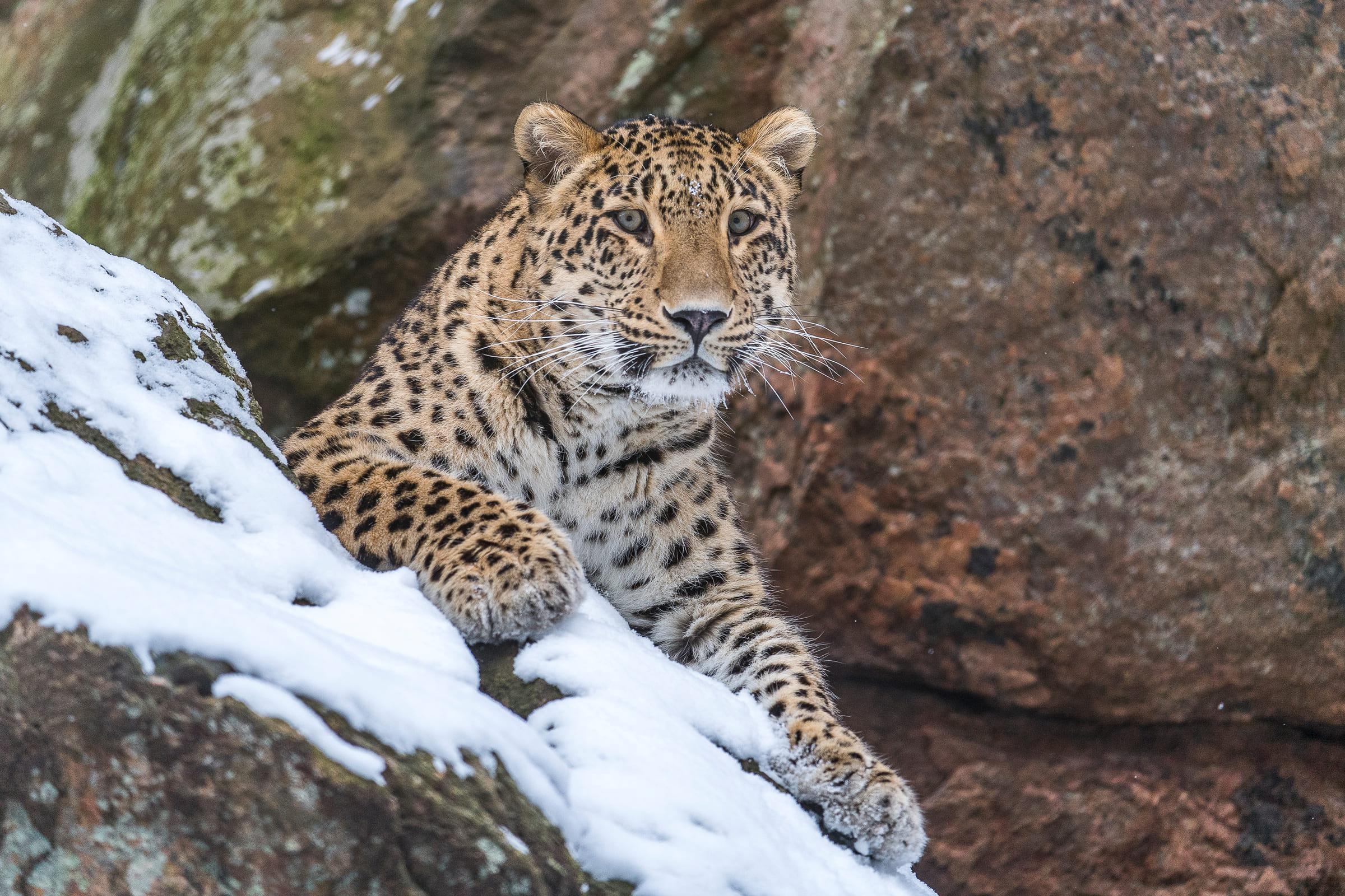 Kaukasus-Leopard