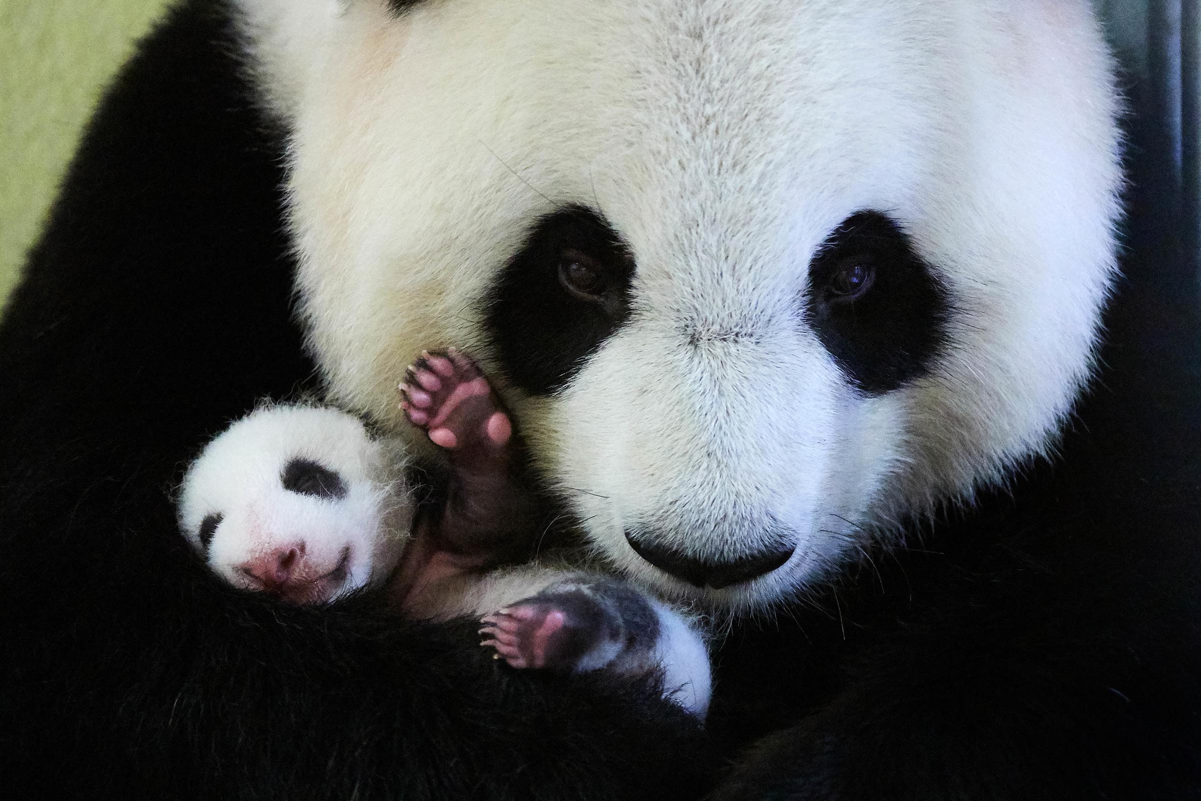 Grosser Panda, Mutter mit Jungem