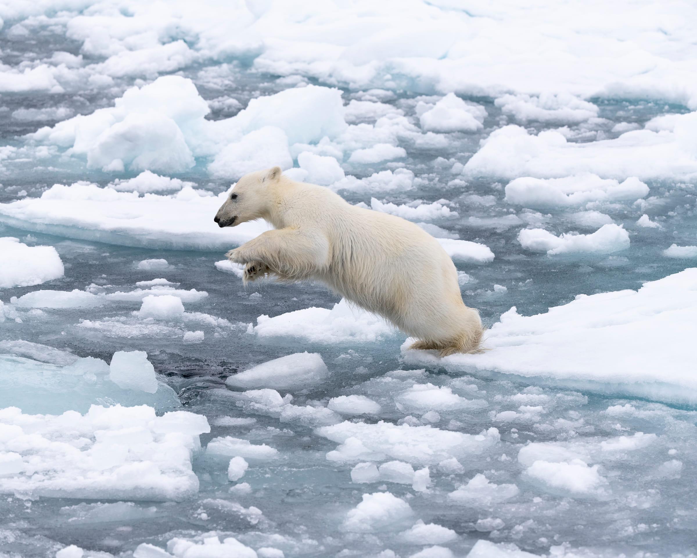 Eisbär springt übers Eis (Spitzbergen)