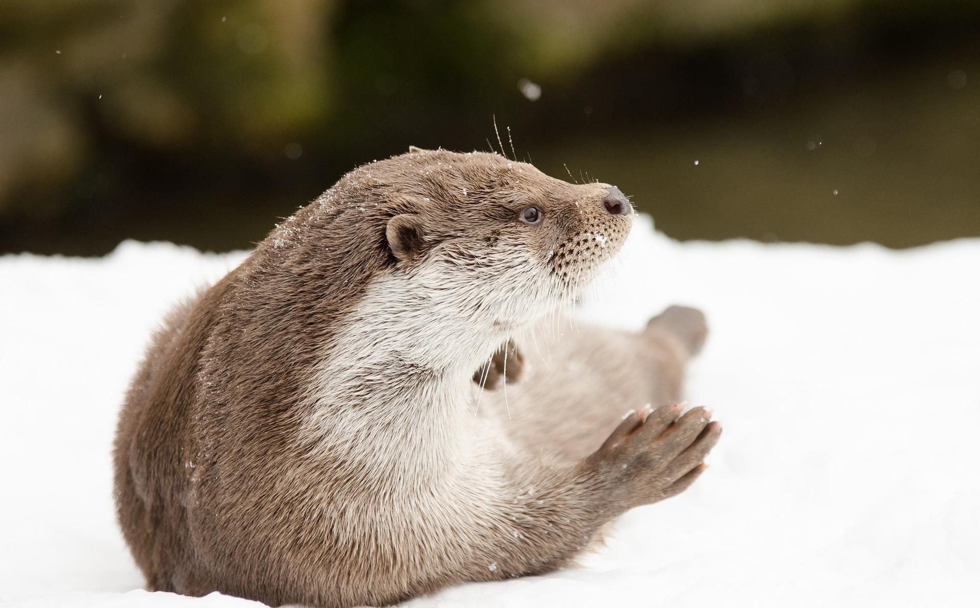 Fischotter im Schnee
