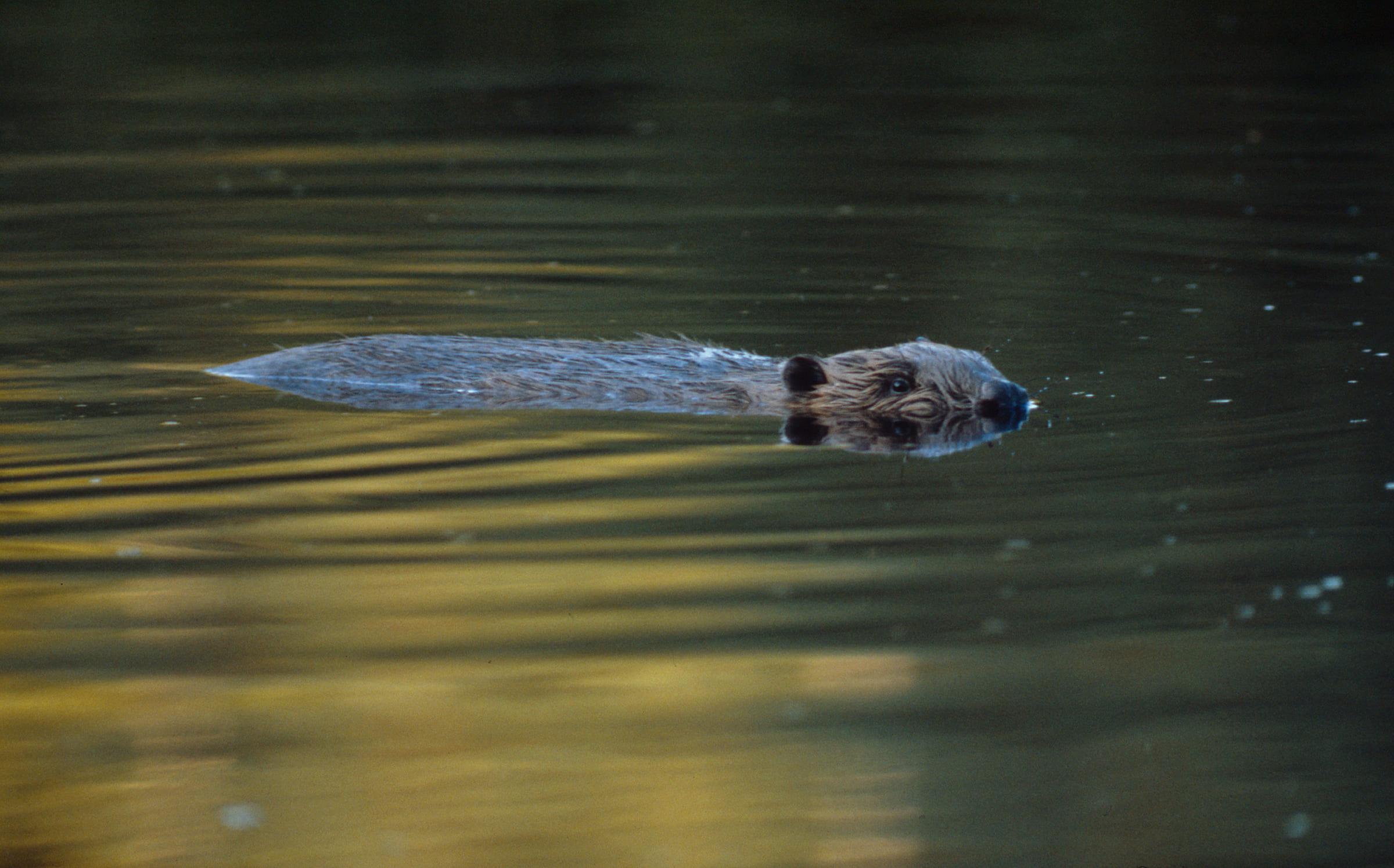Un castoro che nuota