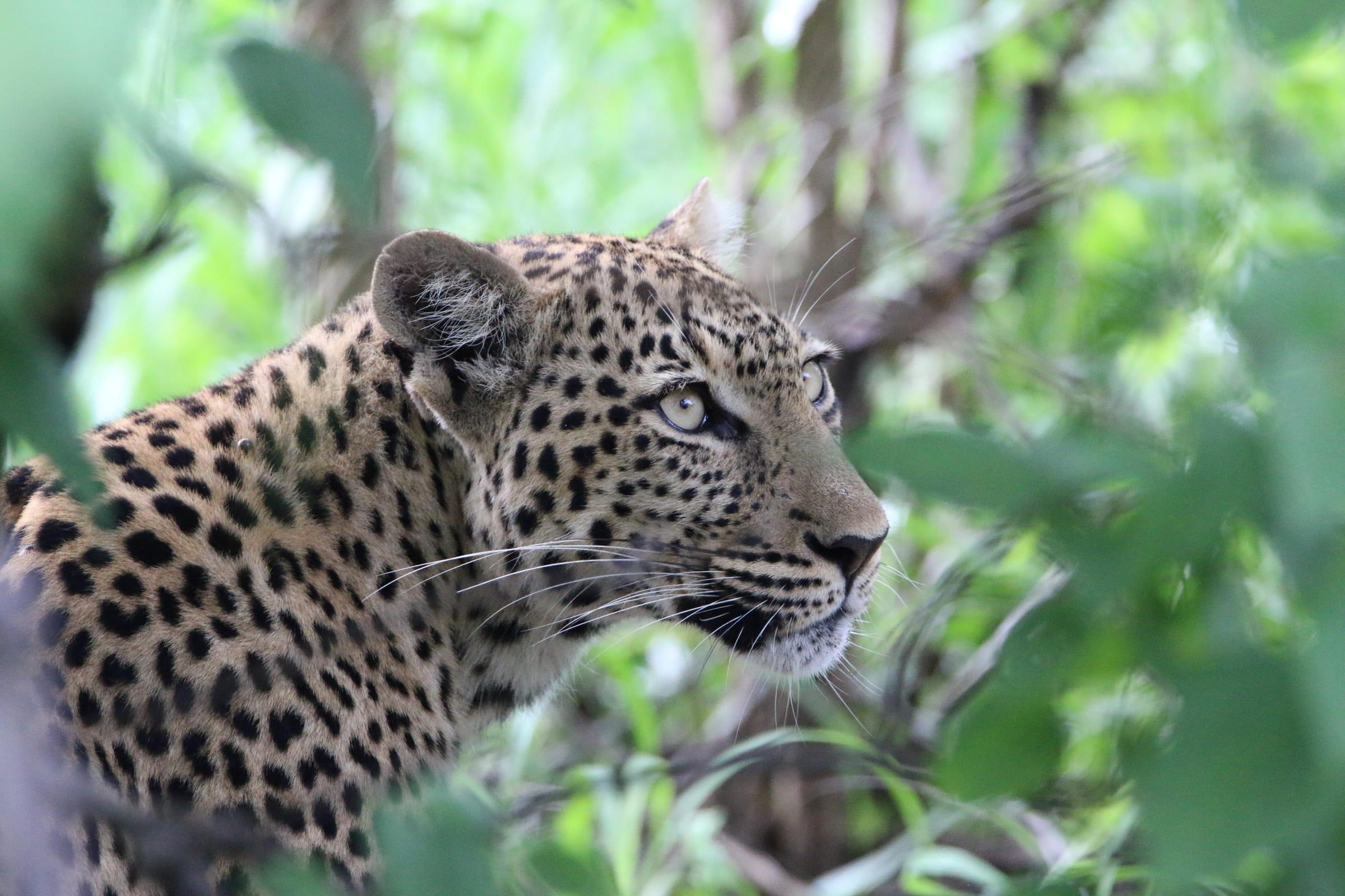Leopard lauert im Gebüsch